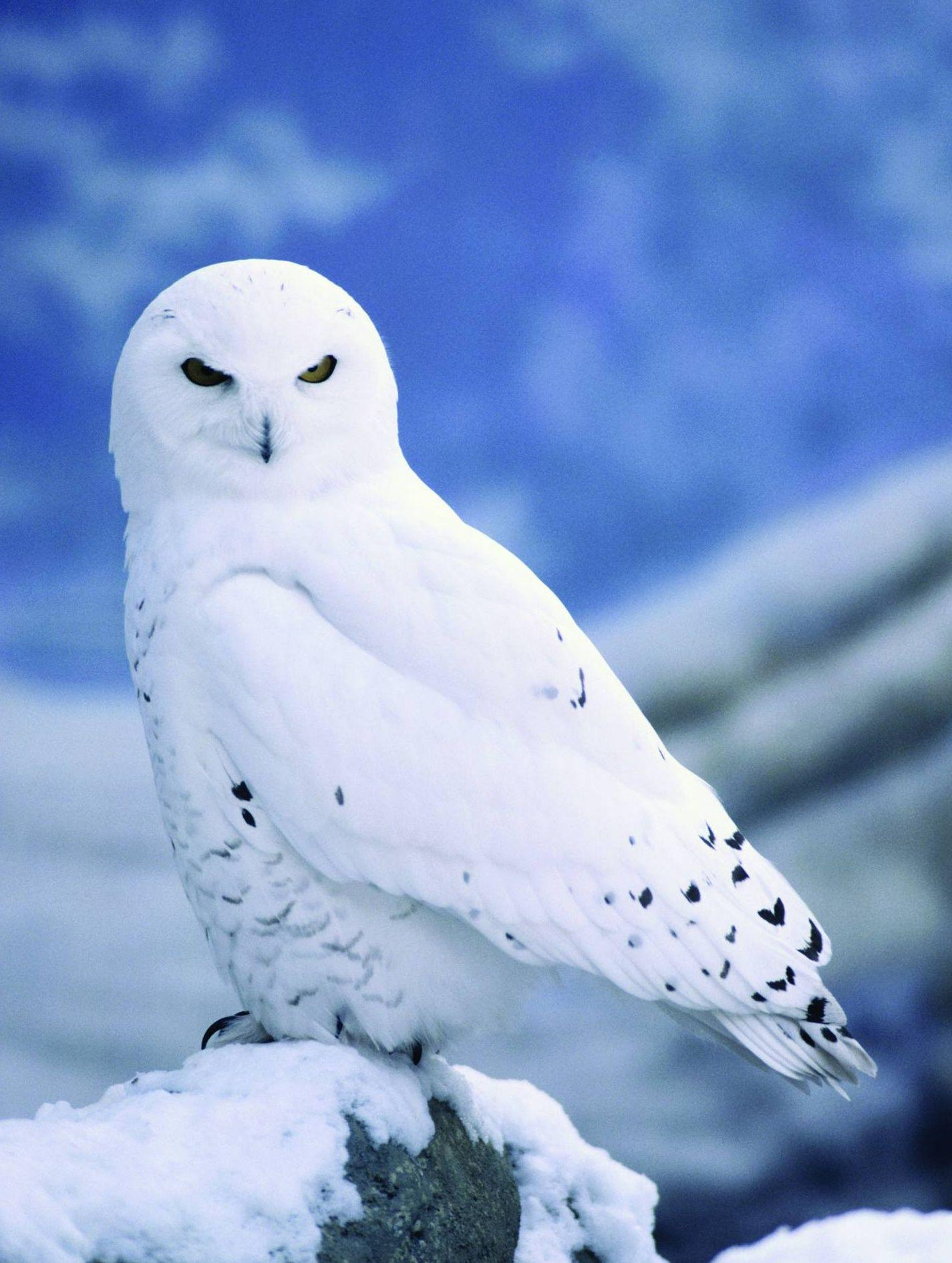 Images of Baby Snowy Owl Desktop Wallpaper - #SC