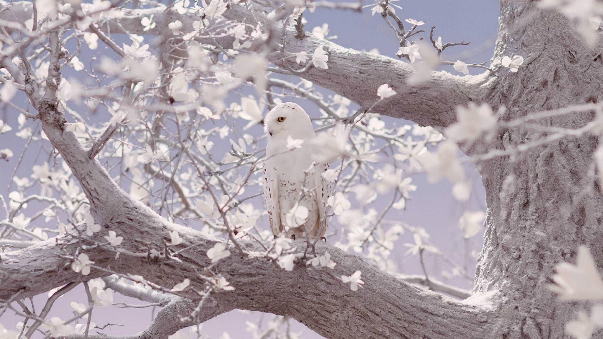 white owl high quality wallpapers hd desktop wallpapers amazing ...