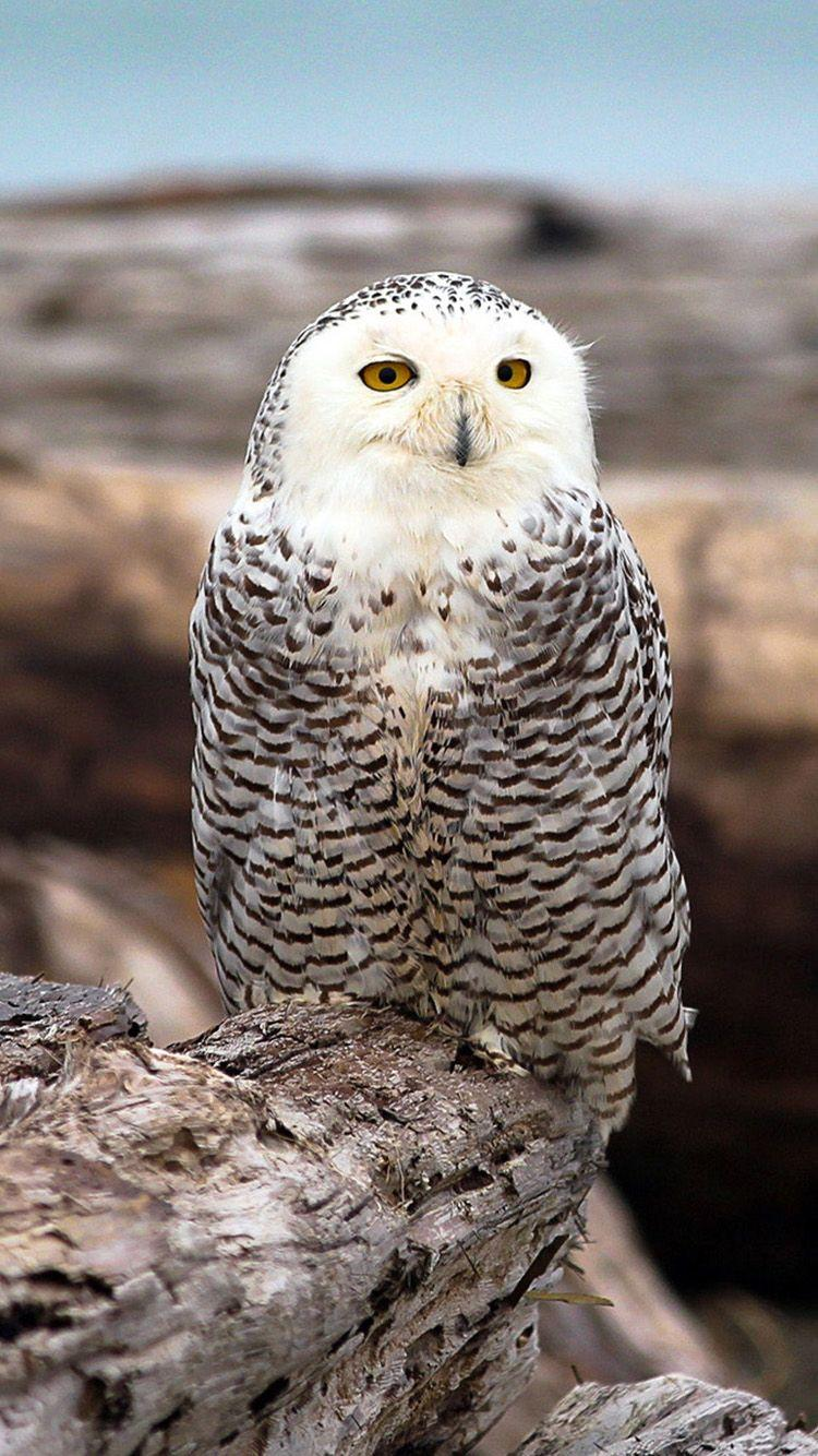 Beautiful Snowy Owl iPhone 6 Wallpapers - iPhone 6 Wallpaper