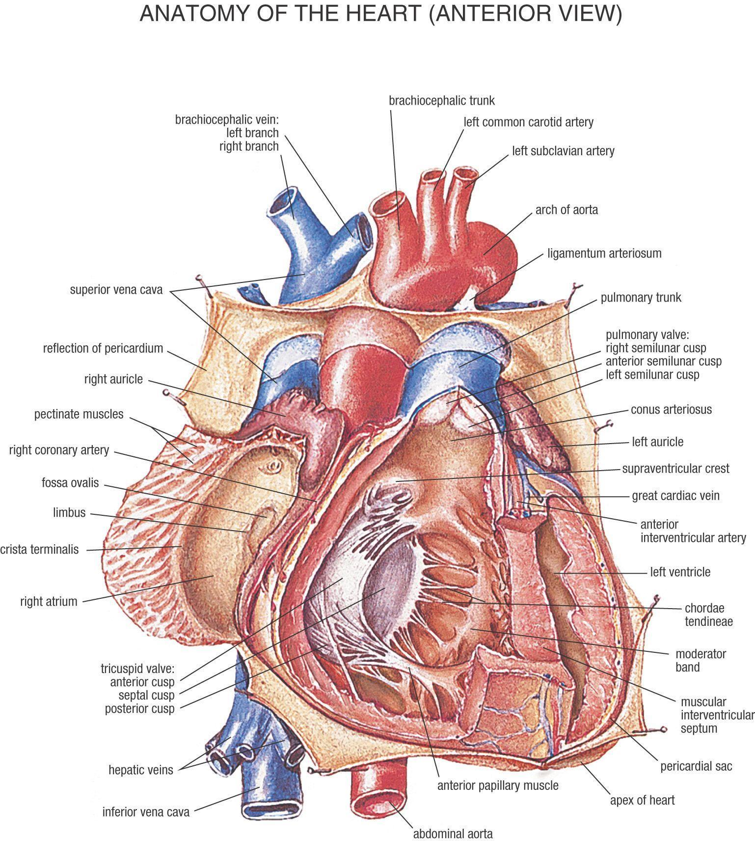 Human Heart Wallpapers Wallpaper Cave