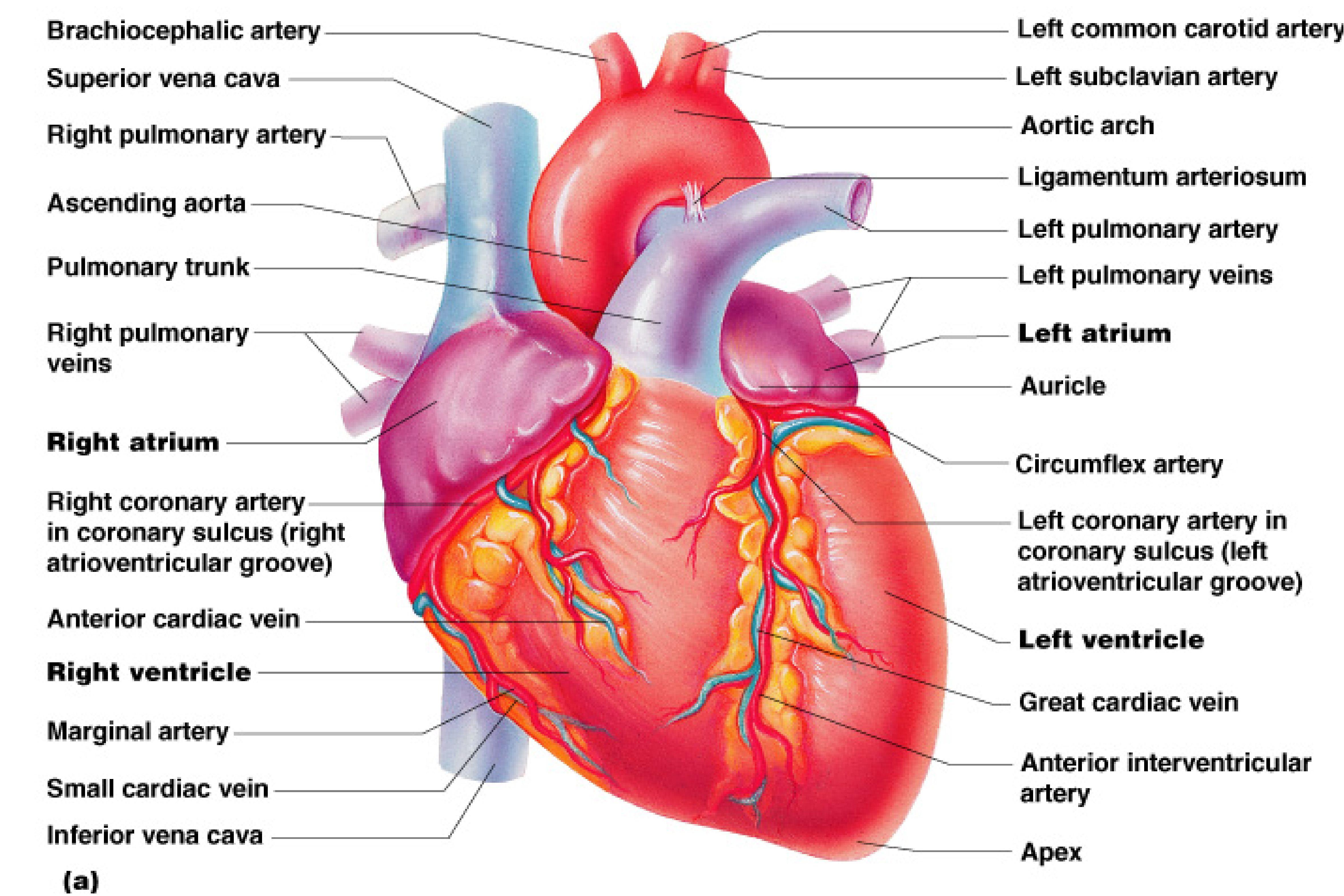 Human heart wallpapers wallpaper cave human heart images hd human hearts wallpapers full hd imanoela ccuart Choice Image
