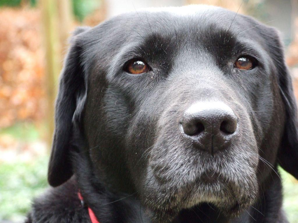 Black lab profile picture 5