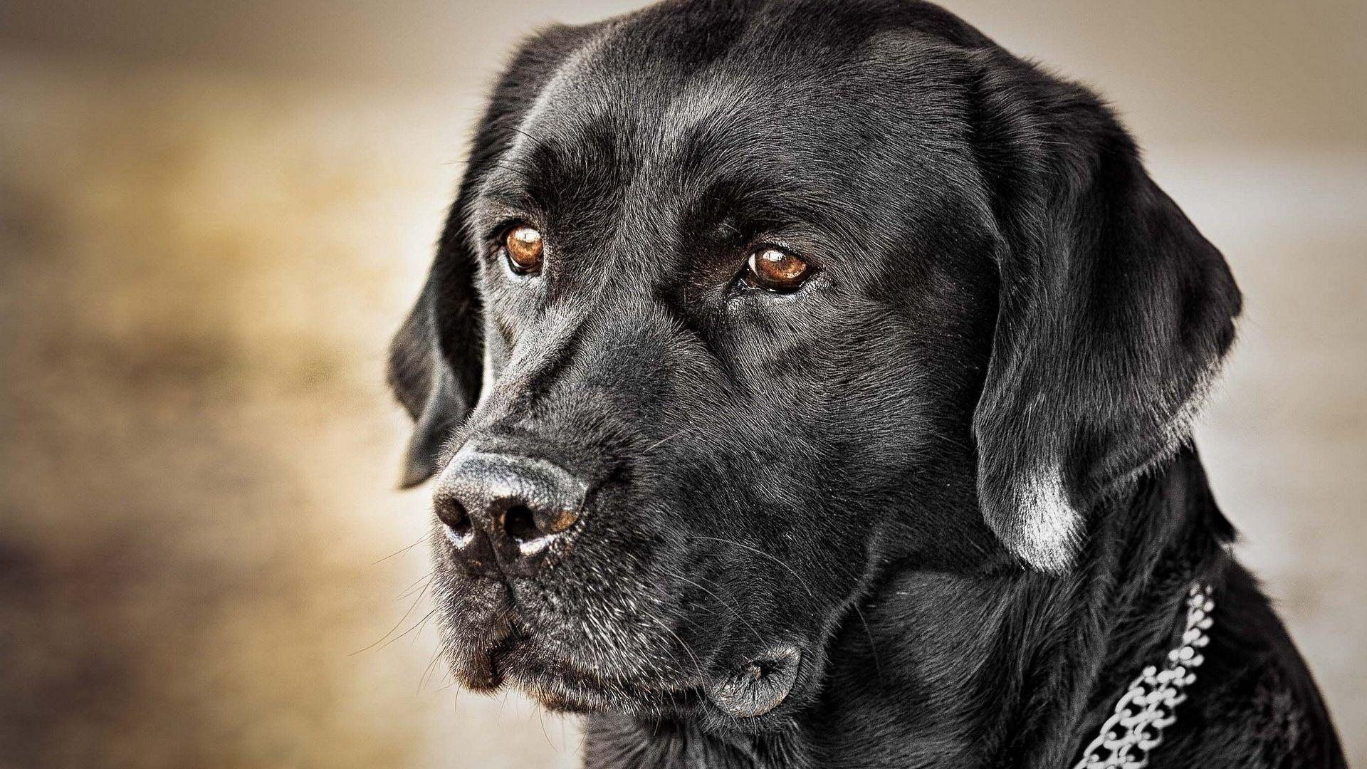 Black Labs Wallpapers Wallpaper Cave