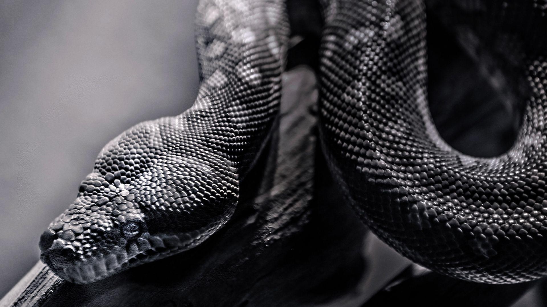 Black Snake Wallpapers Wallpaper Cave
