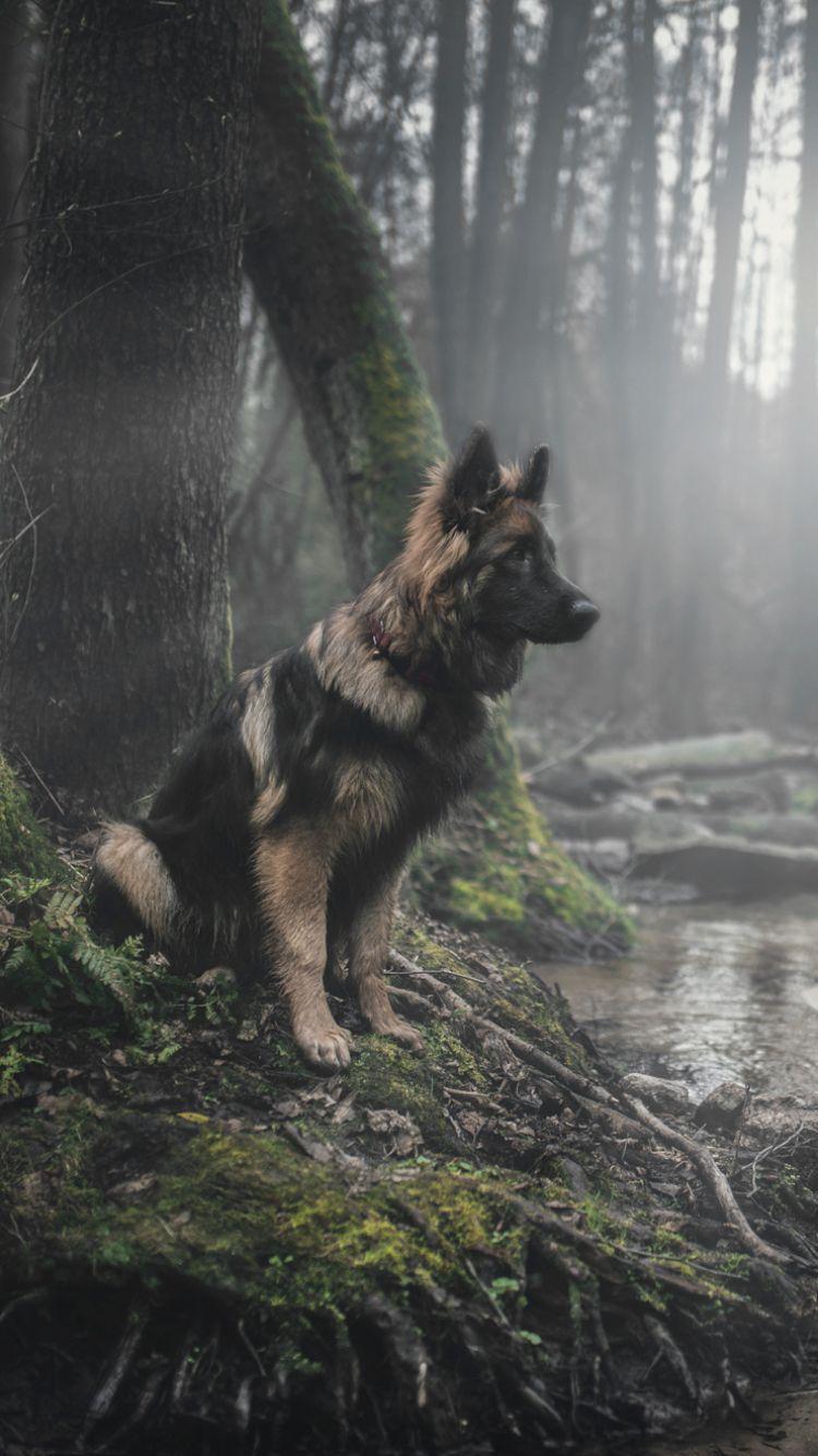 German Shepherd iPhone Wallpapers