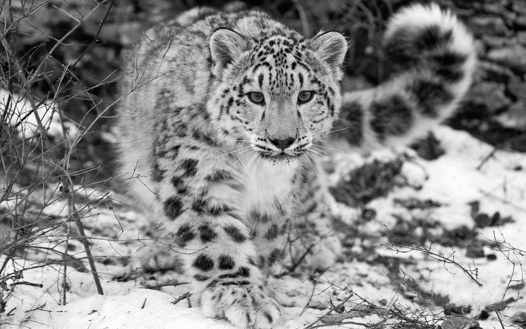 Snow Leopards Wallpapers Wallpaper Cave