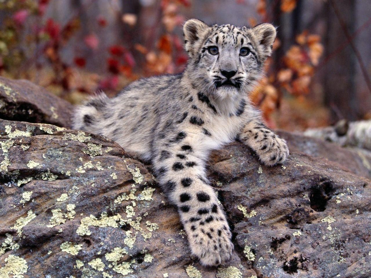 Baby Snow Leopard Wallpapers Wallpaper Cave