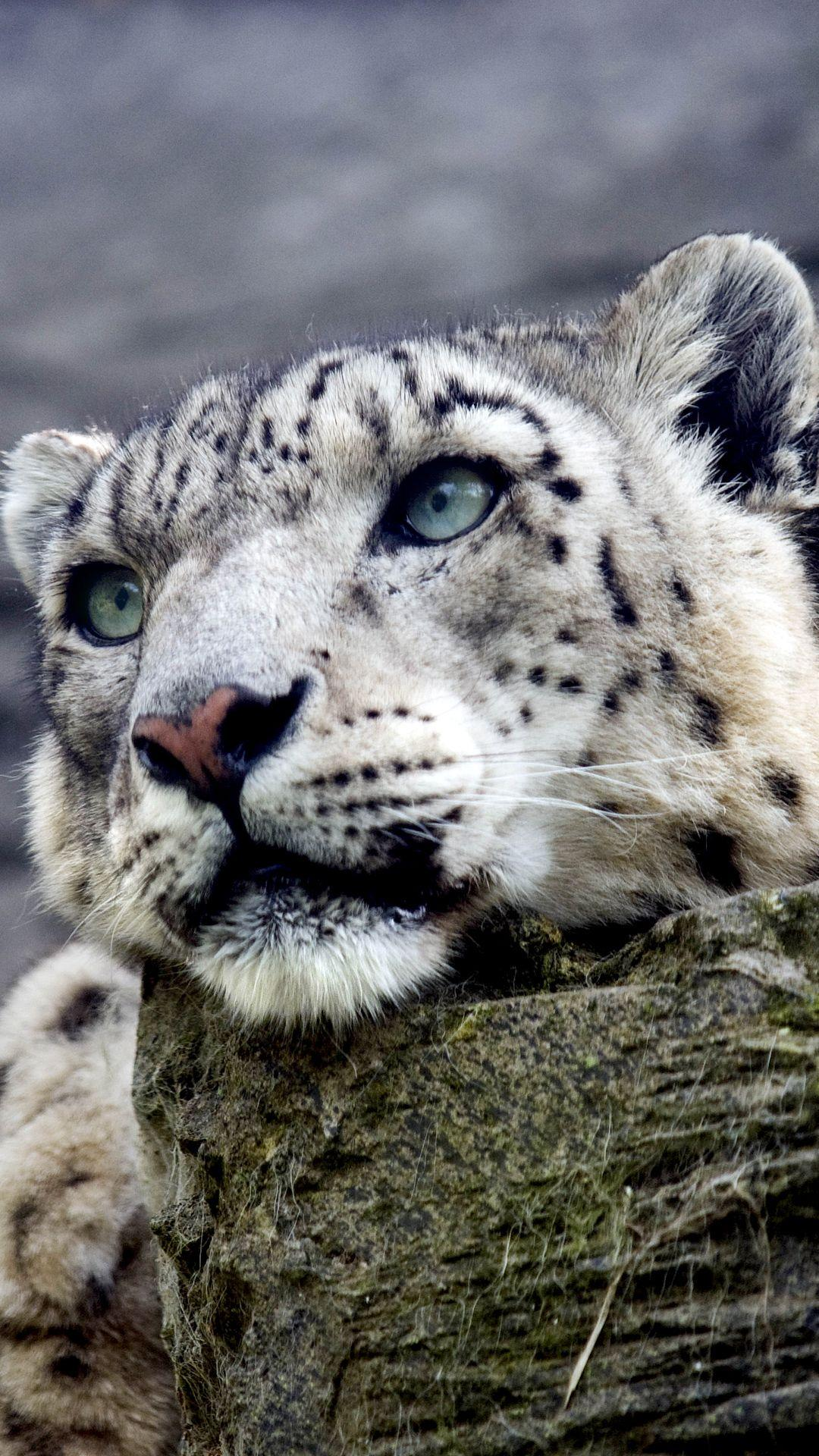 Snow Leopard iPhone 6S Plus Wallpapers