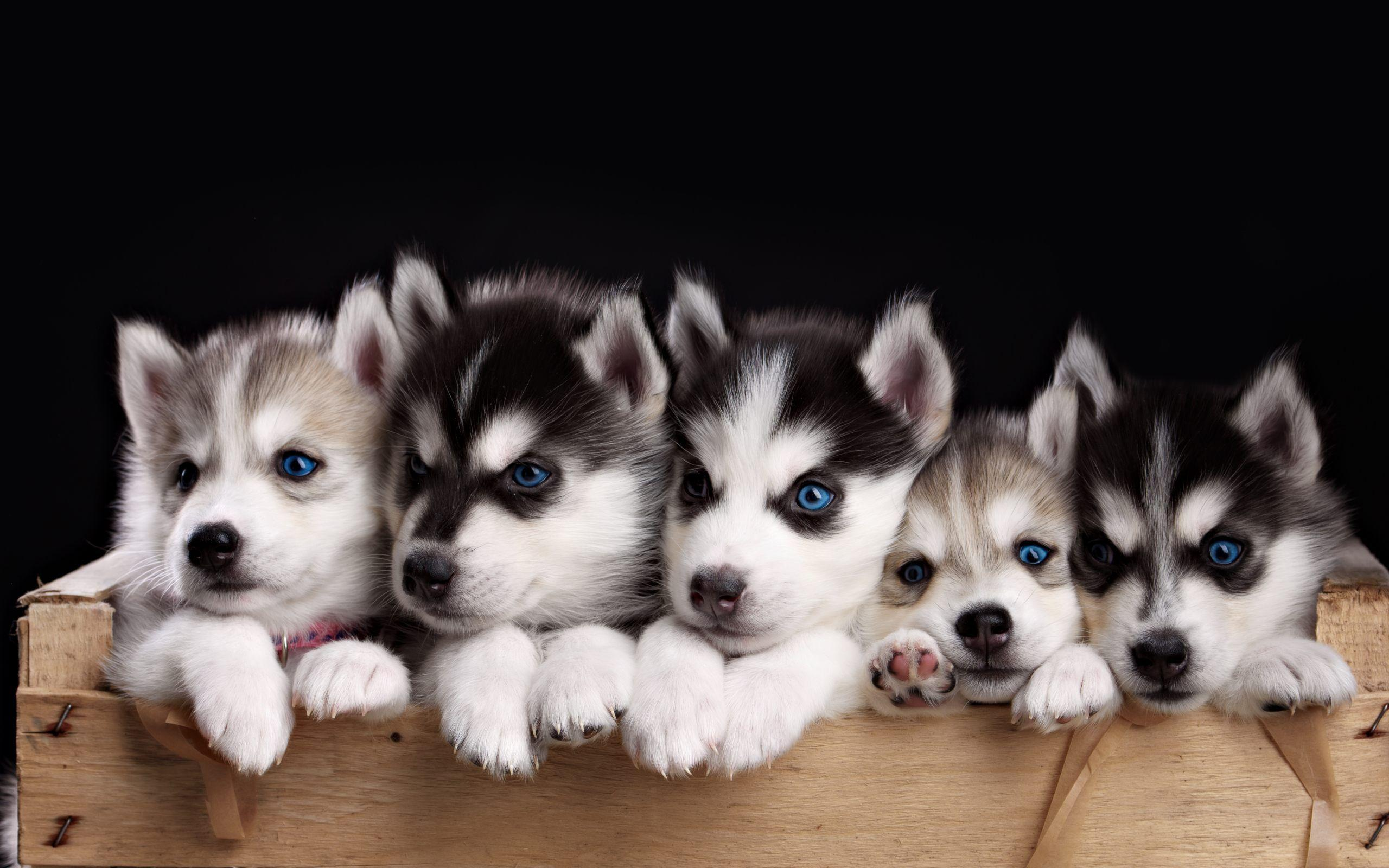 Husky Puppy Wallpapers Wallpaper Cave