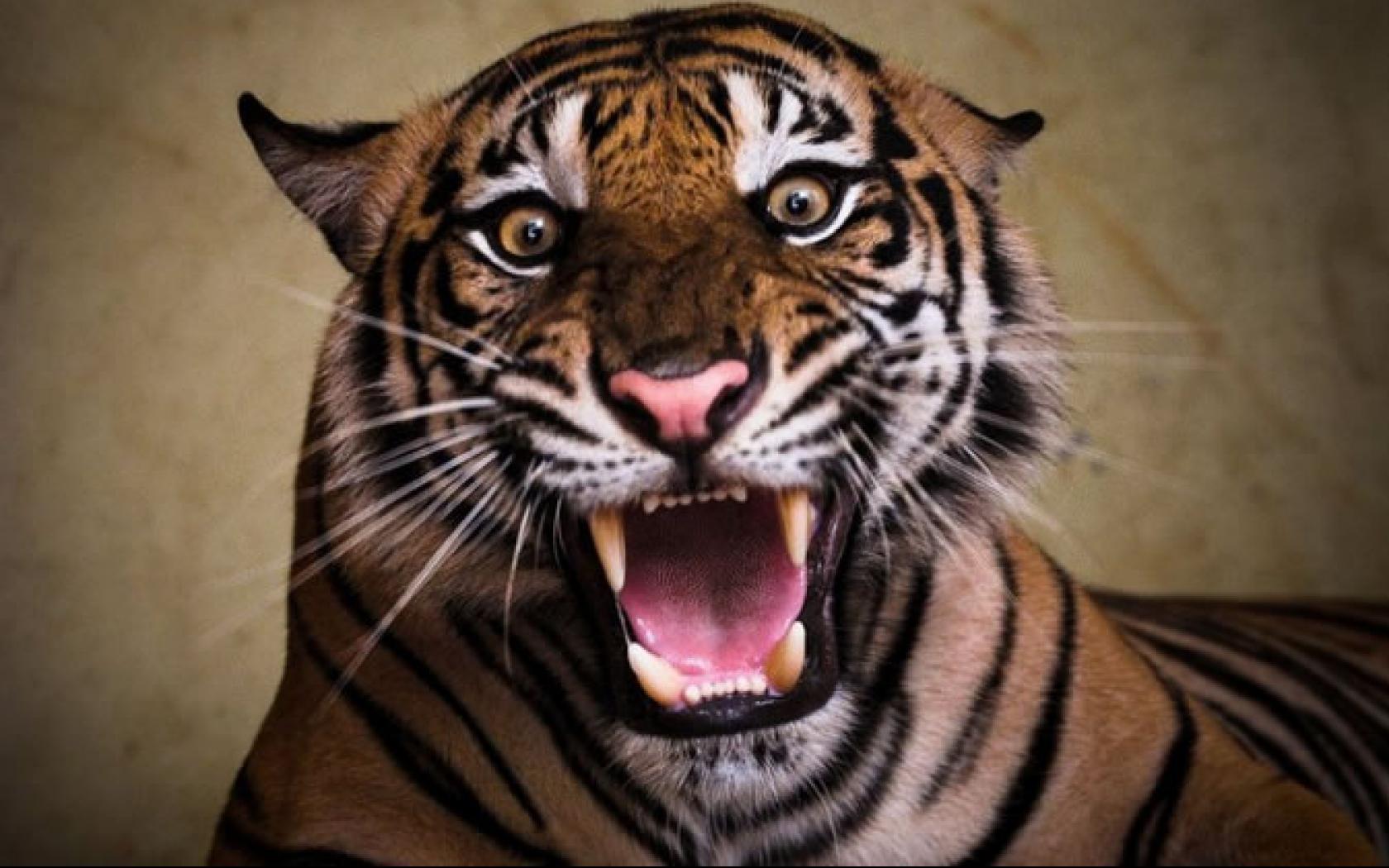 картинки тигр с открытым ртом аспарагуса относят