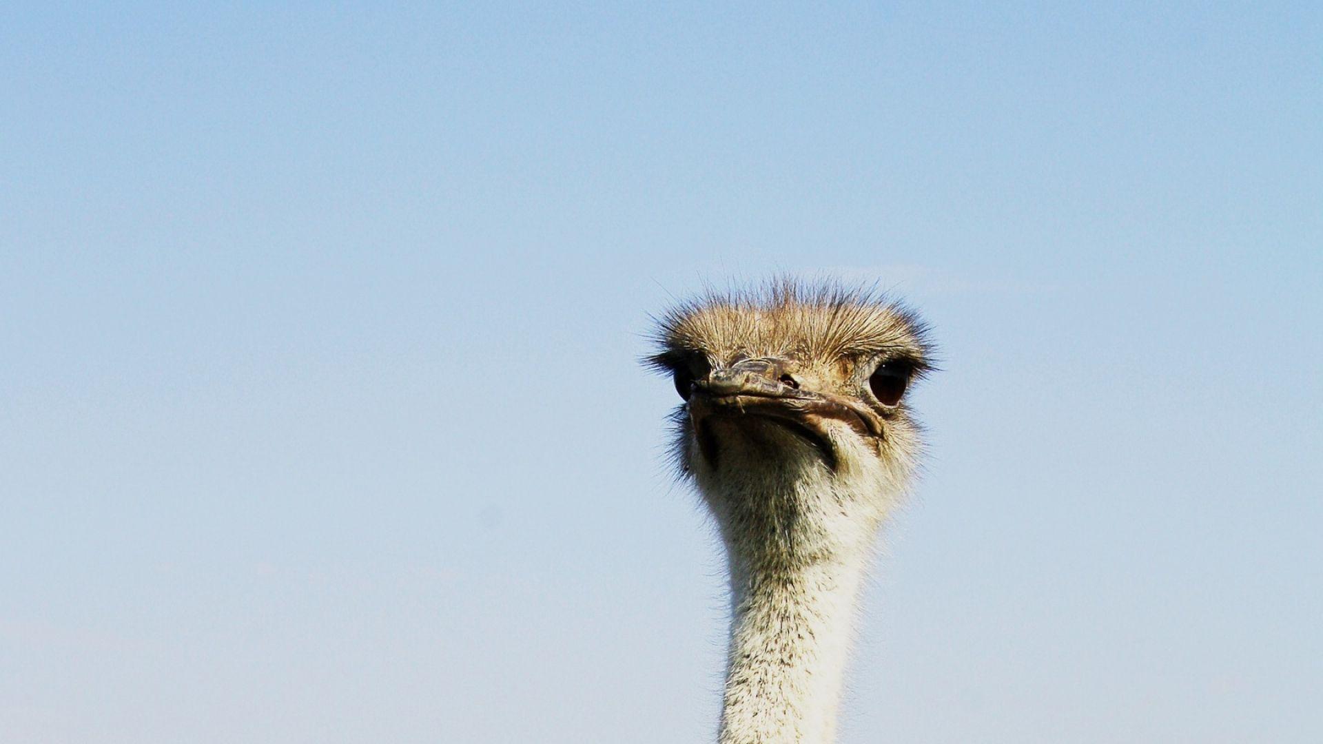 birds desert ostrich hd - photo #26