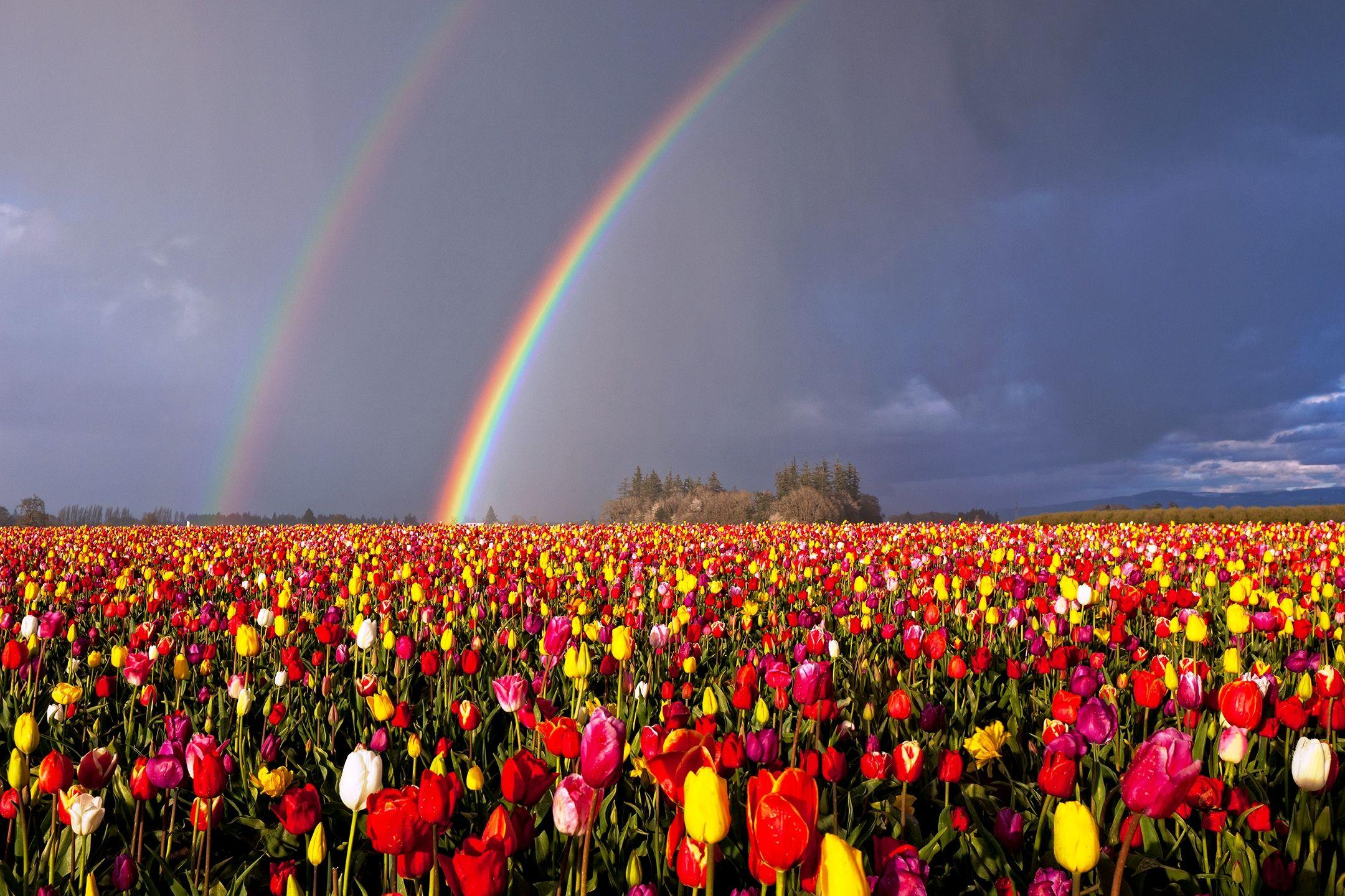 Spring Flowers Tulips Field Sunrise Grass Clouds: Rainbow Tulips Wallpapers