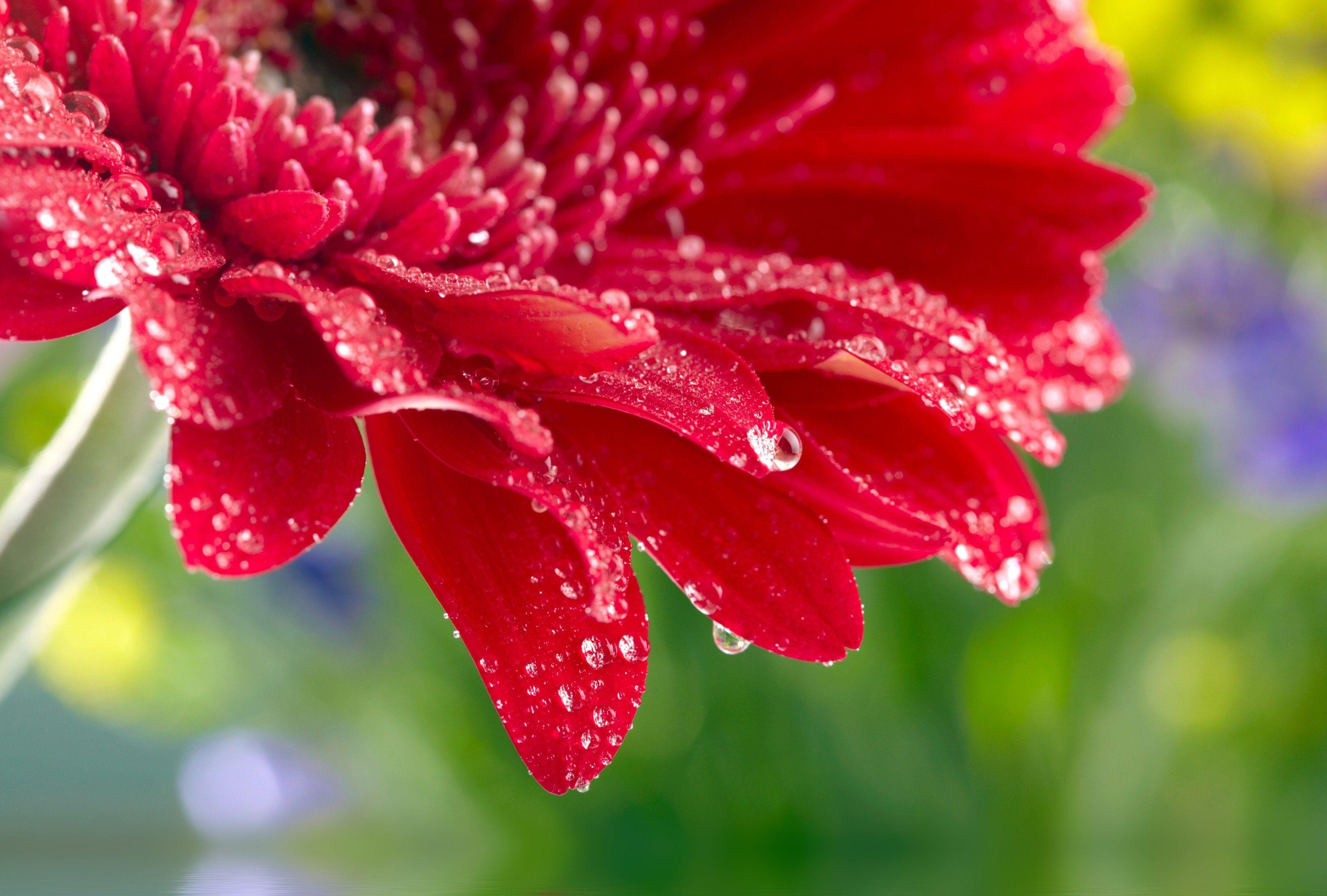 Red daisy gerbera close up rose flower water drops wallpaper ...