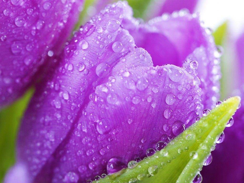 9933BB Color wallpapers: Rain Drops Purple Forces Nature ...