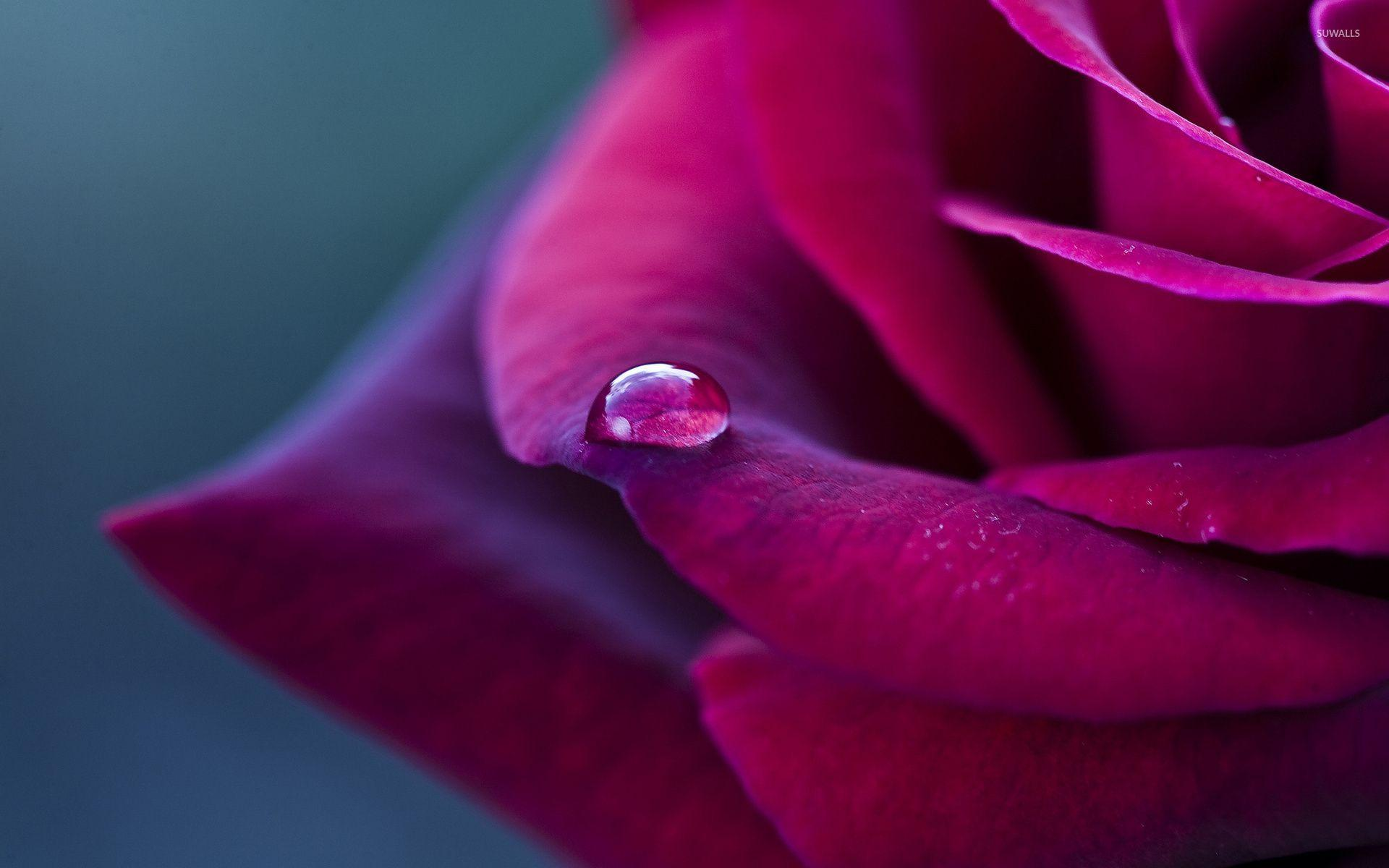 Water drop on a purple rose wallpaper - Flower wallpapers - #42045 ...
