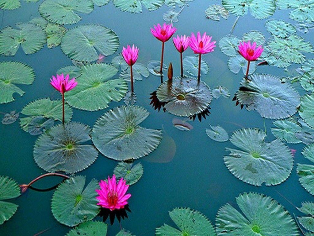 Wallpapers Tagged With Lotus Page 2: Pink Waterlily Dragonfly Lake ...