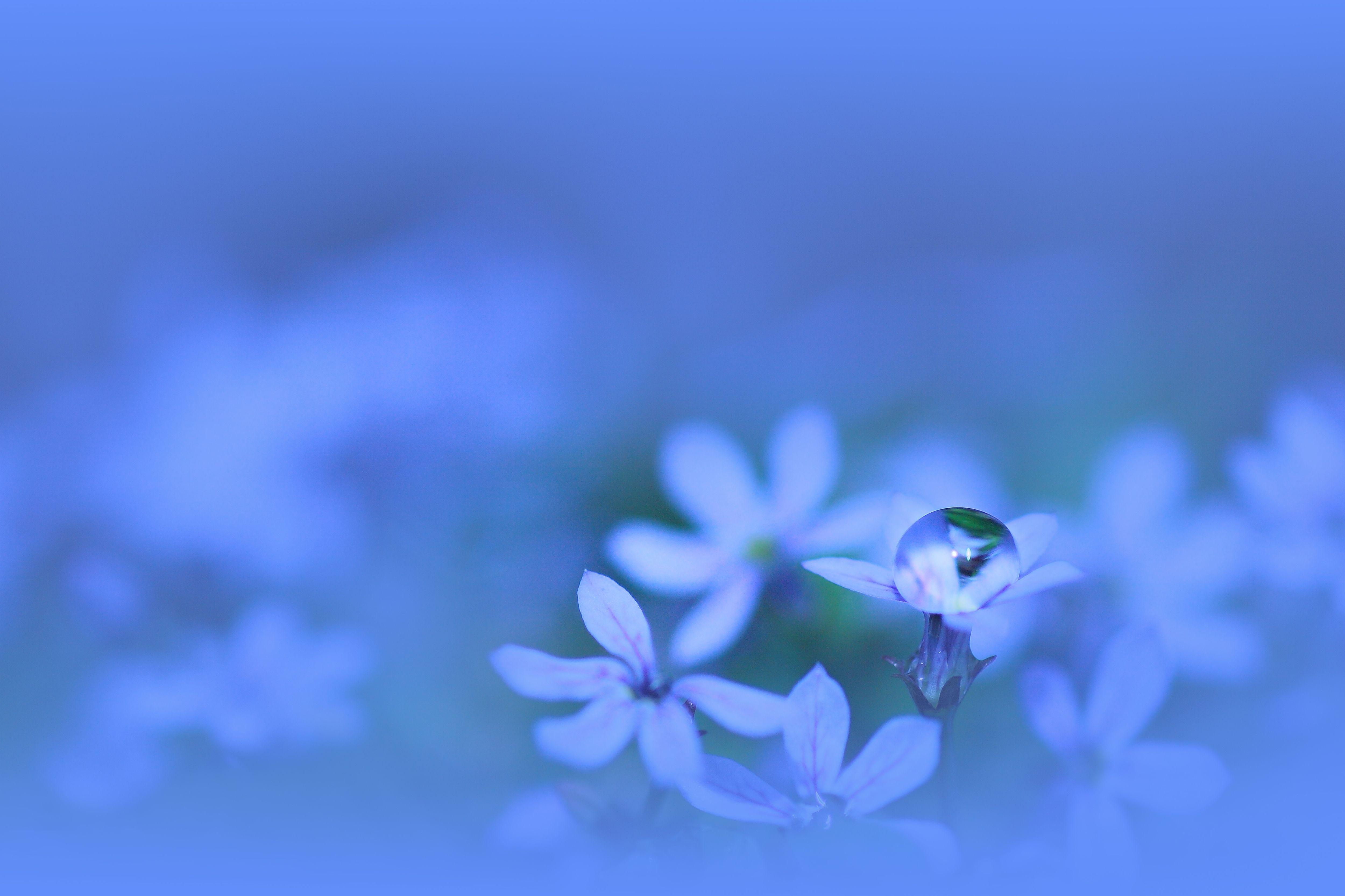 Blue Flowers with Water Drop | Macro Photo and Wallpaper