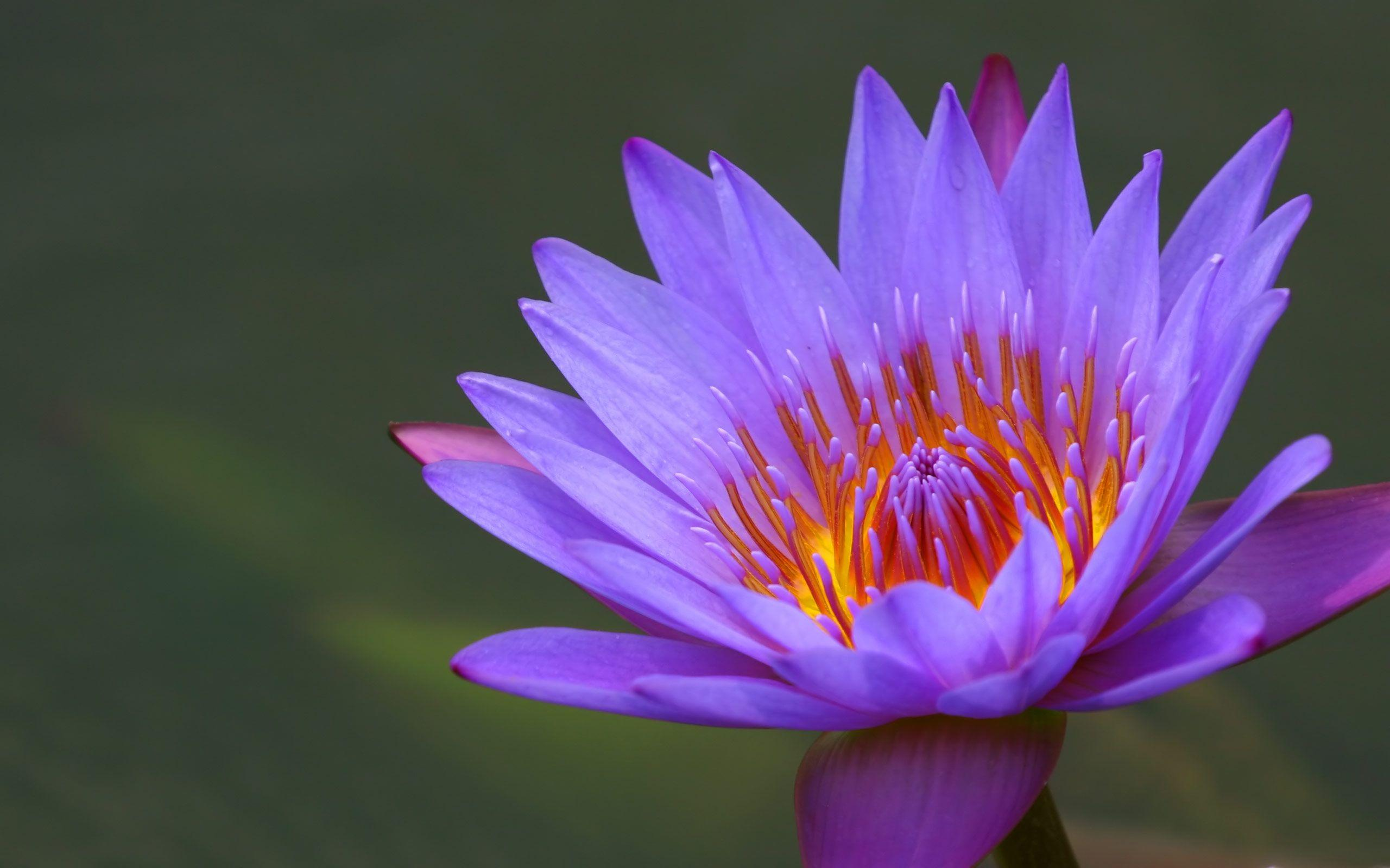 Water Lily Wallpapers | Flowers Wallpapers Gallery - PC ...