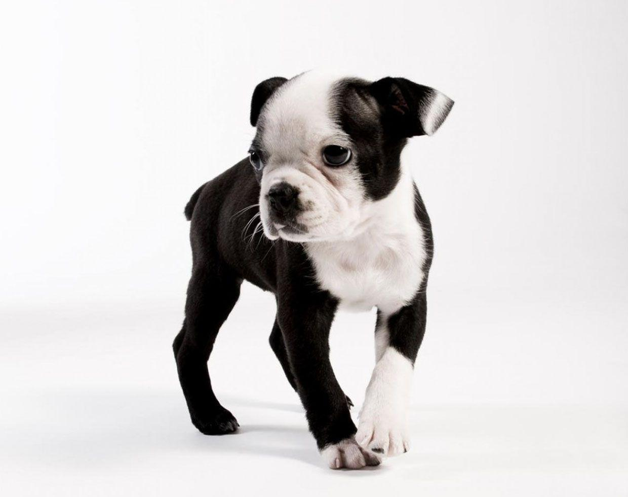 High Resolution Wallpapers of a Boston Terrier Puppy