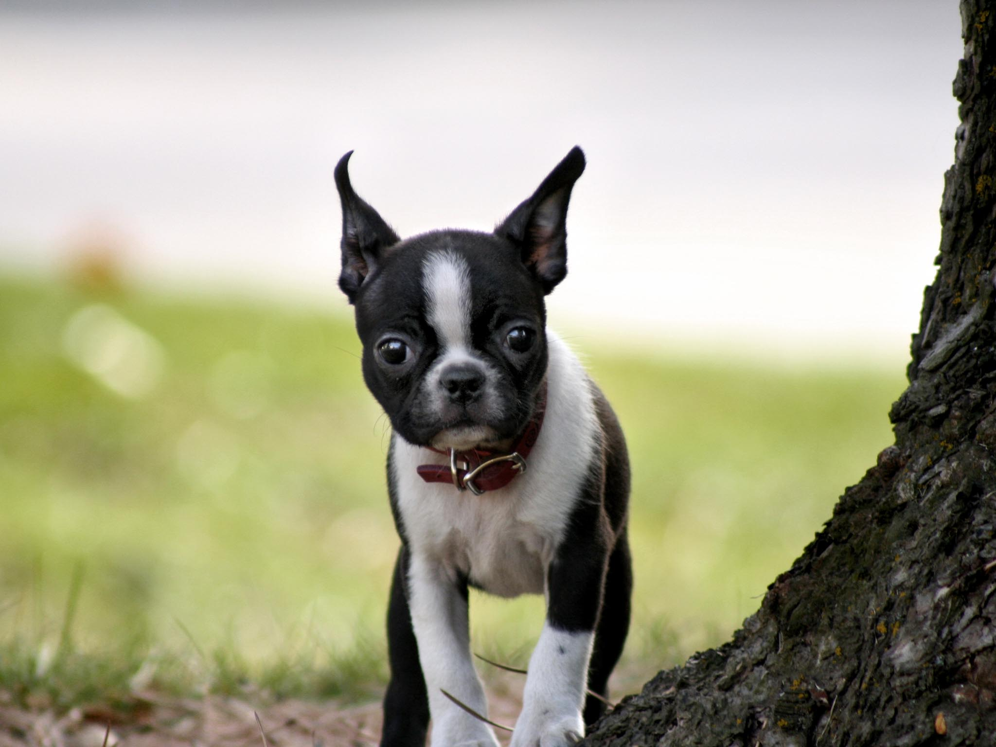 Cute Boston Terrier wallpapers