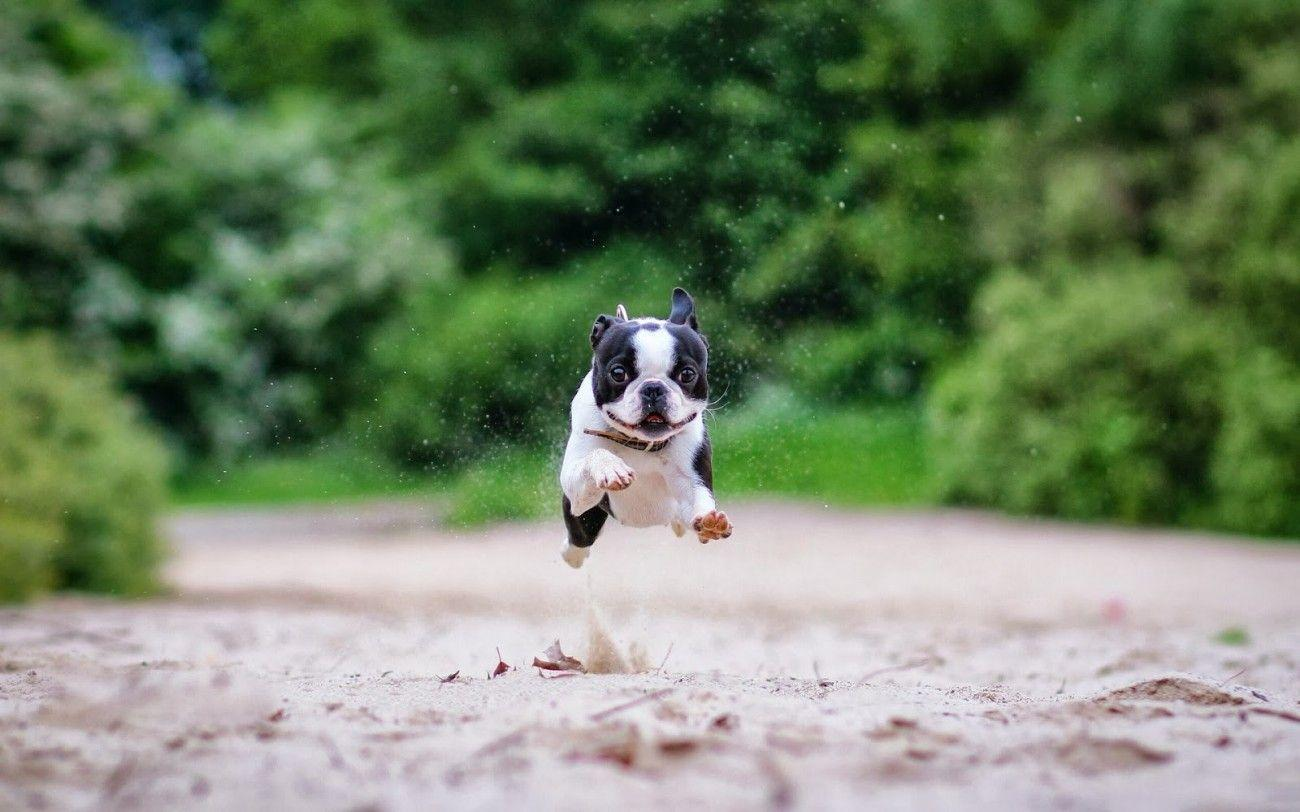 Boston Terrier Wallpapers Group