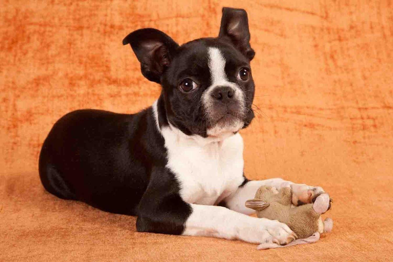 Boston Terrier Wallpapers