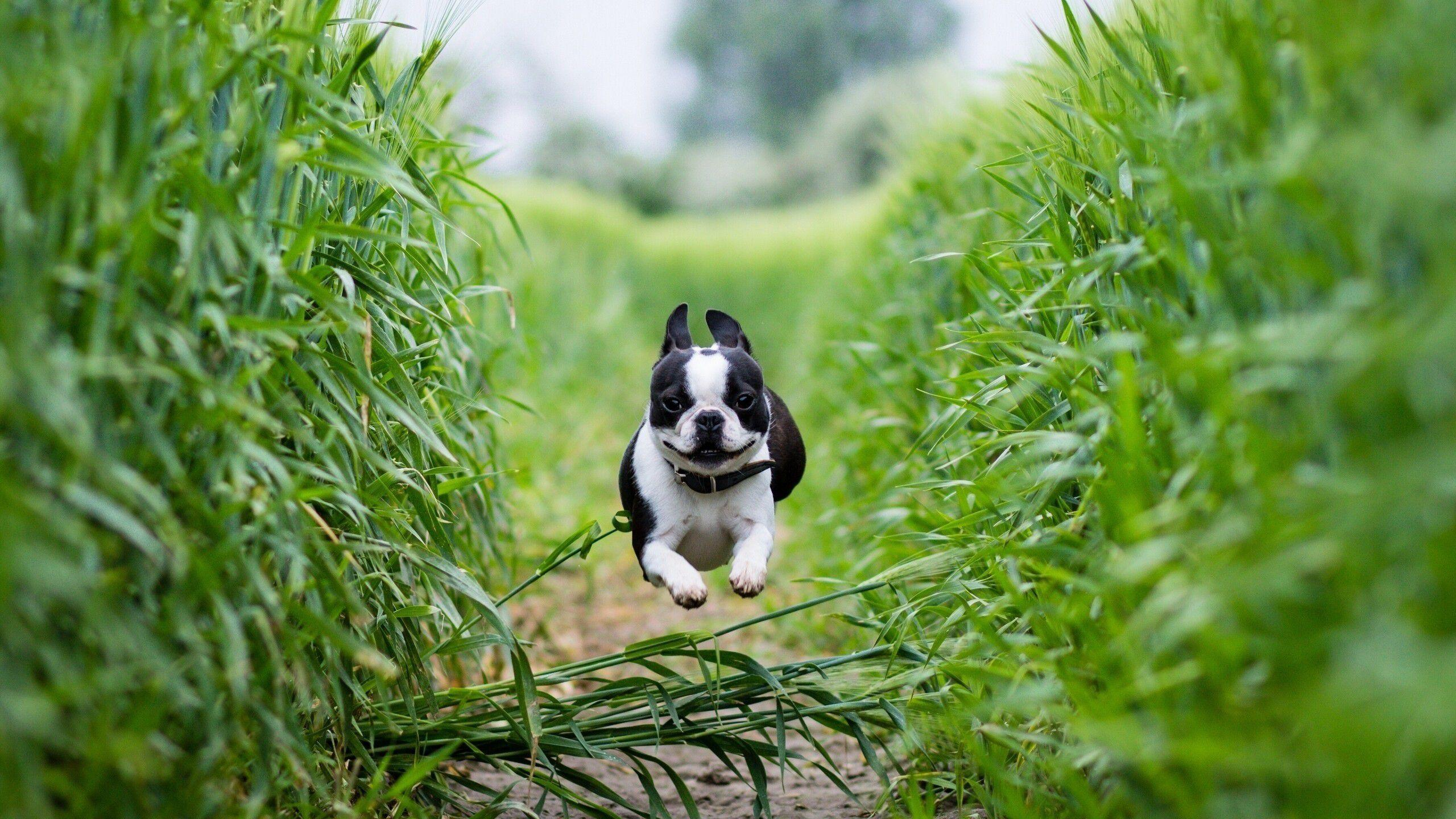 1080p Boston Terrier Dog Wallpaper Backgrounds