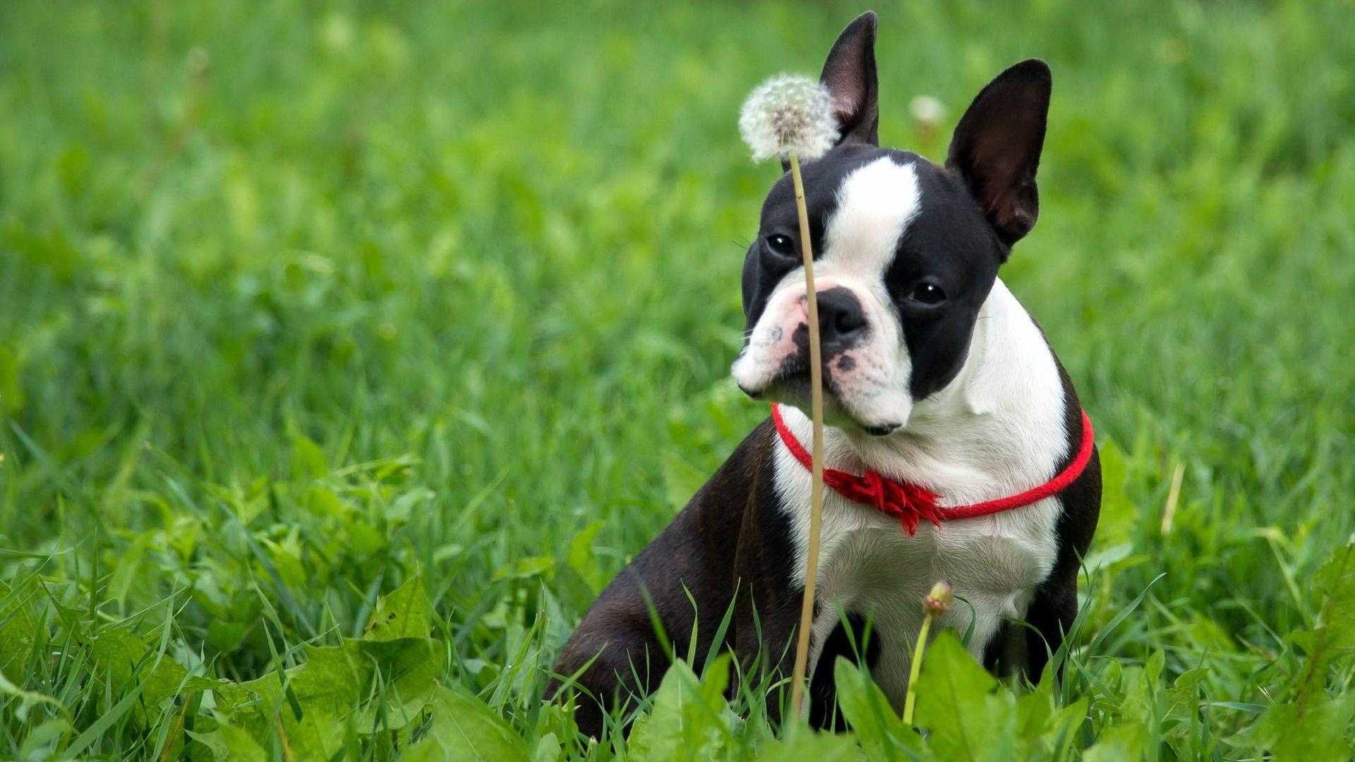 Boston Terrier Wallpapers Free Download