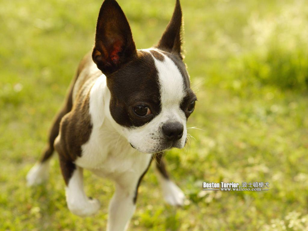 Boston Terrier Puppies Picture 5