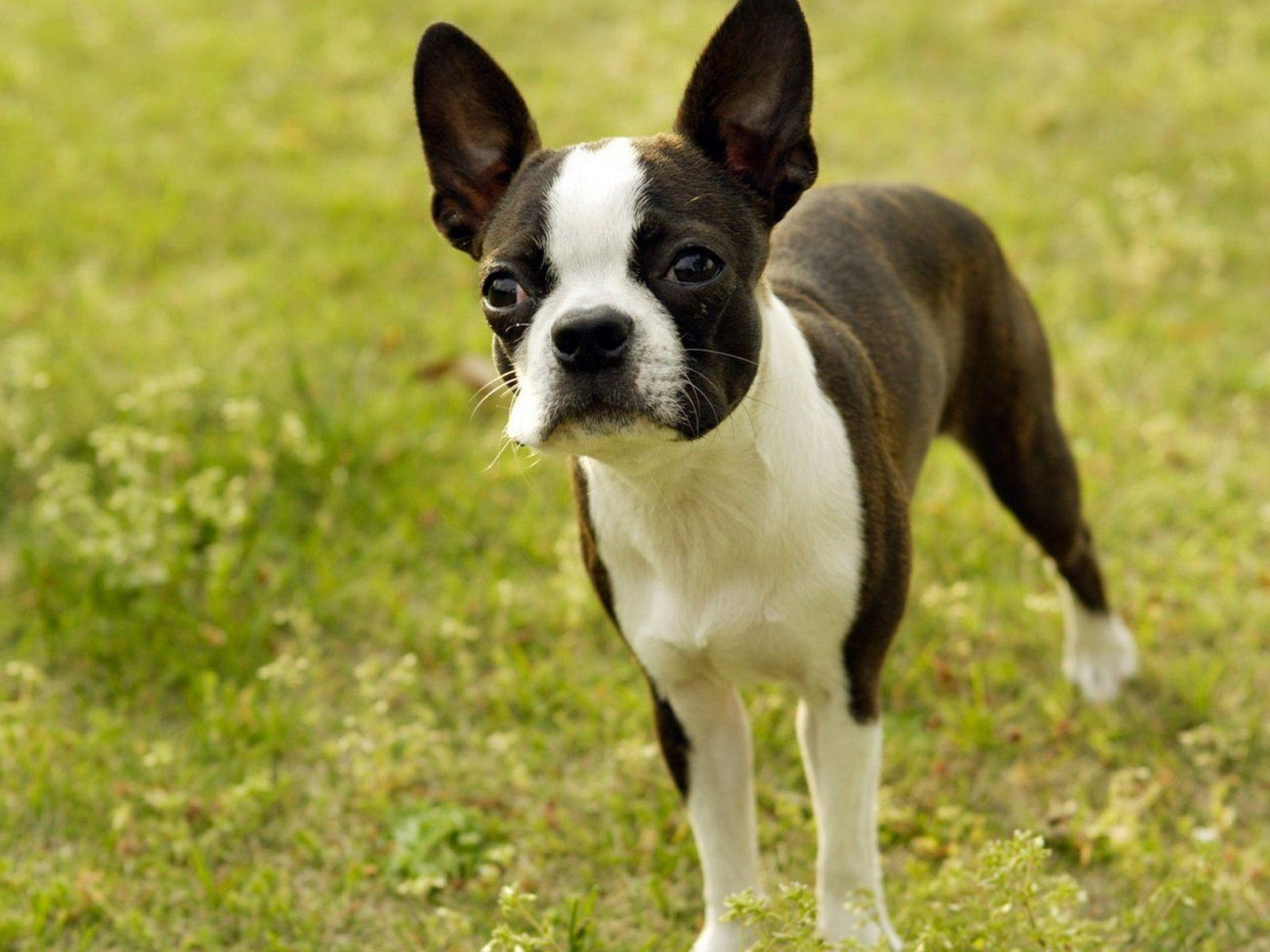 Boston Terrier Desktop Backgrounds