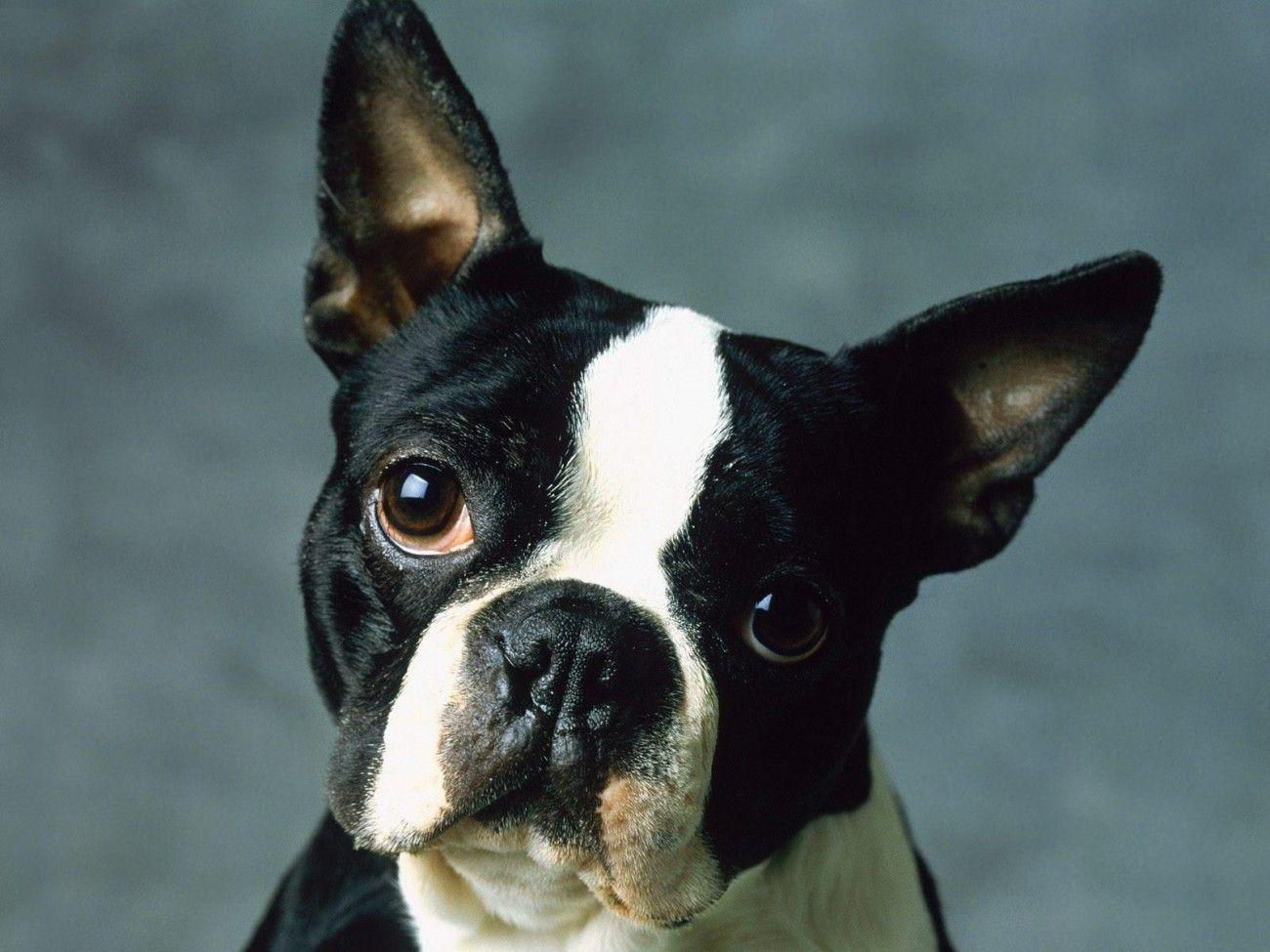 Boston Terrier Dog Wallpapers