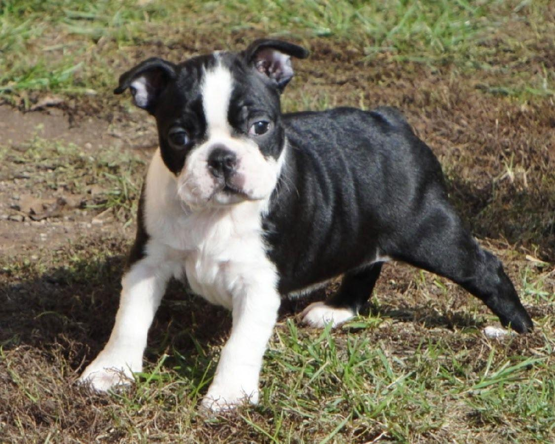 Boston Terrier Dogs Wallpapers