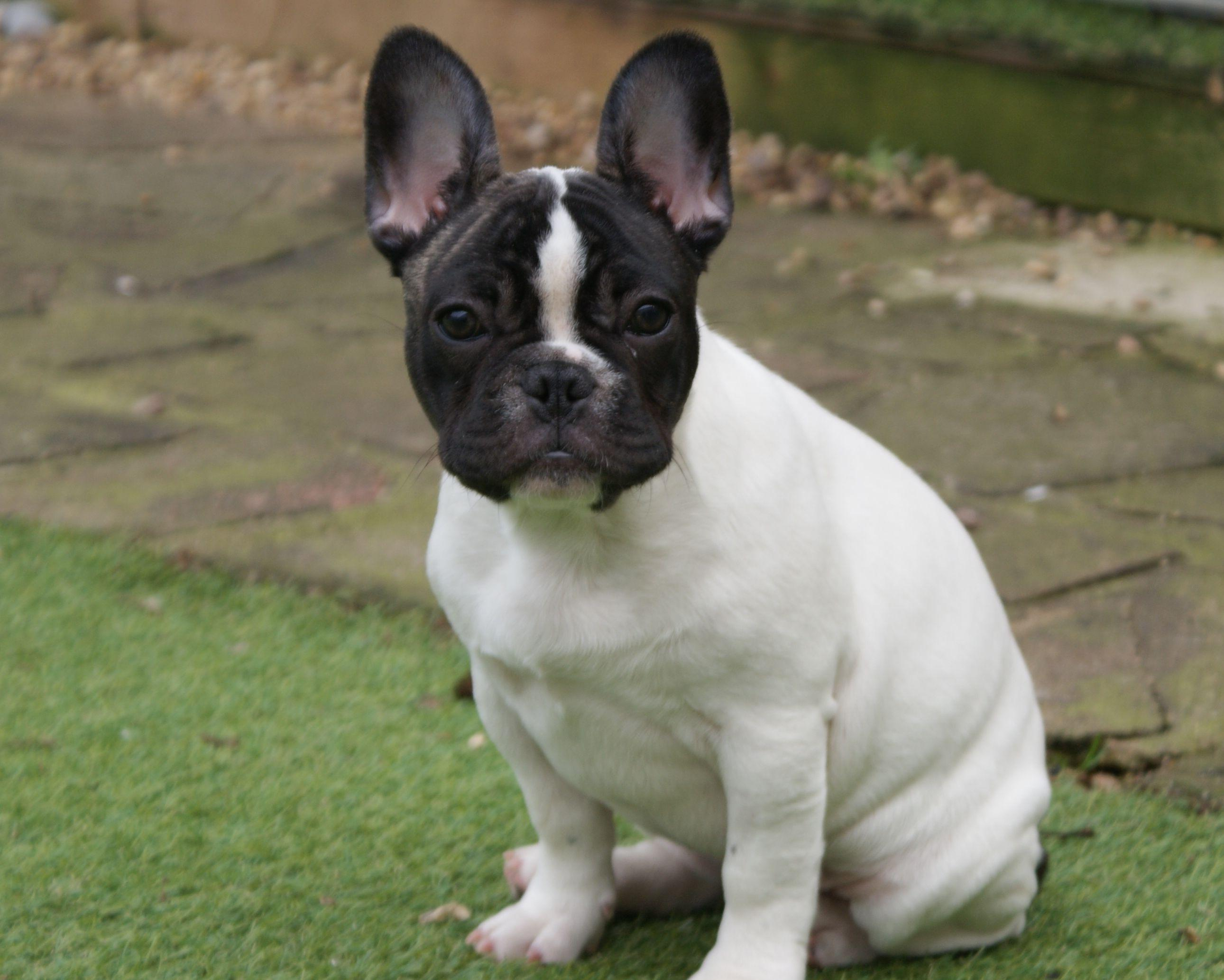 French Bulldog Boston Terrier Mix HD Wallpapers Animal » Forkyu