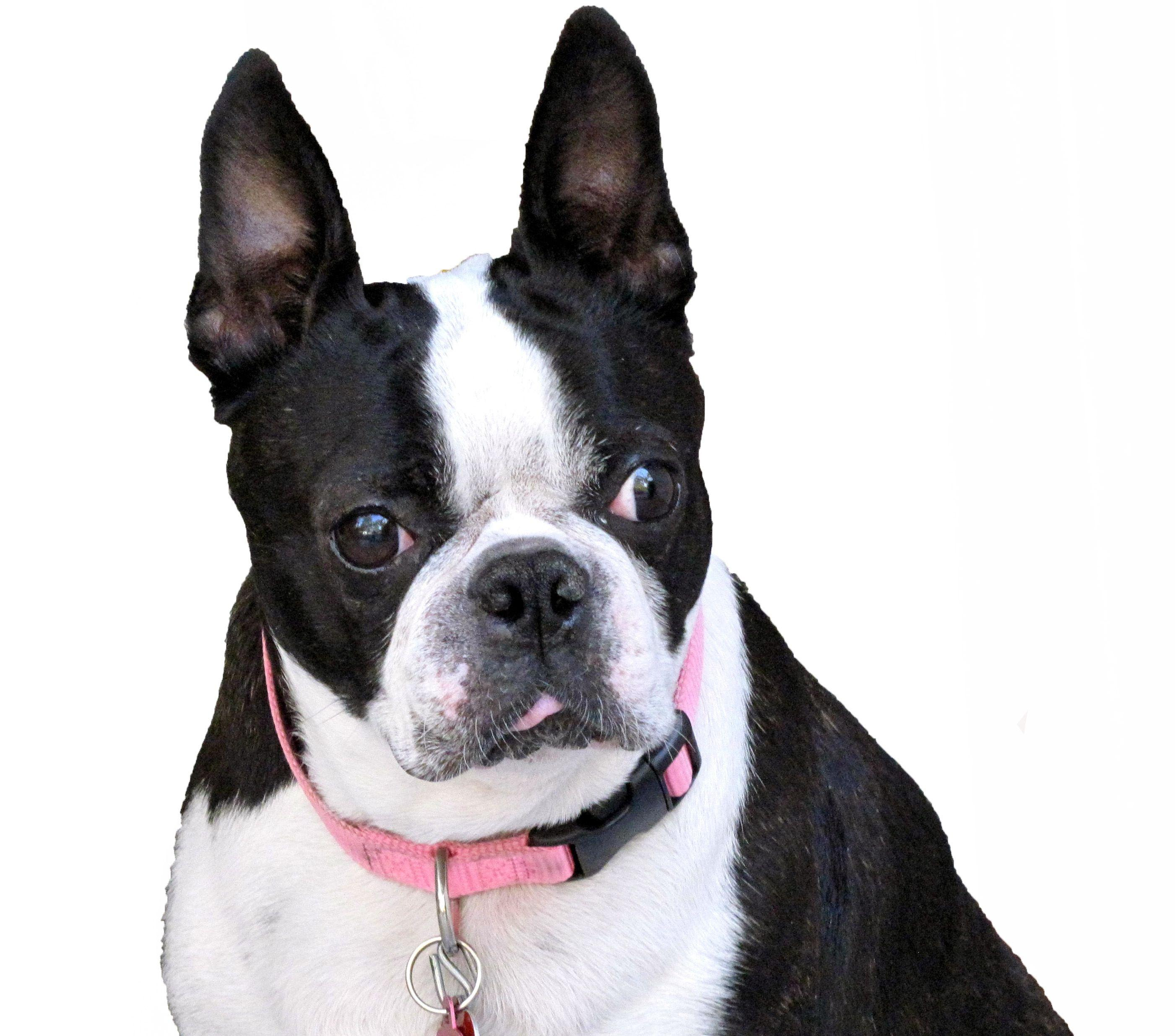 Wallpapers for Boston Terrier ⇔ Resolution 2802x2471