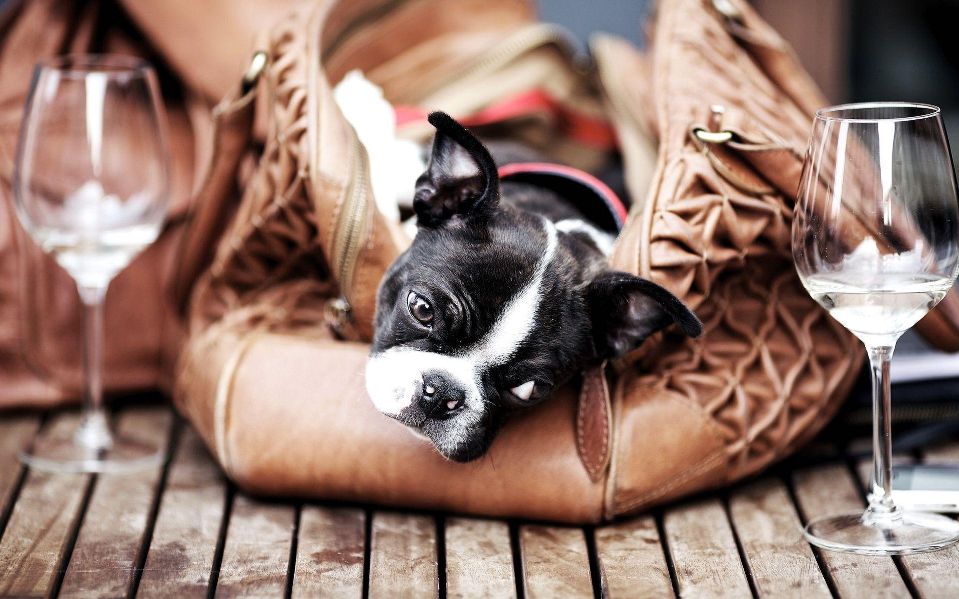 Wallpapers boston terrier, dog, glass, bag, floor desktop wallpapers