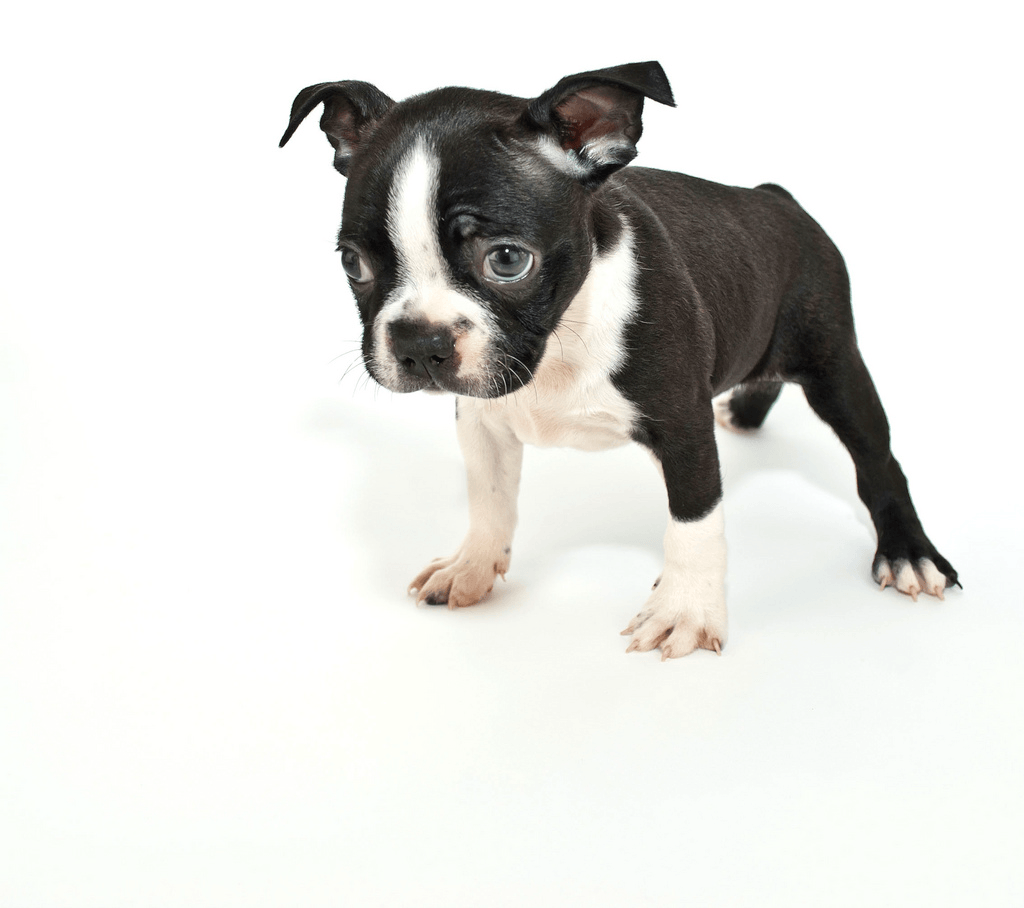 Boston Terrier wallpapers, Animal, HQ Boston Terrier pictures