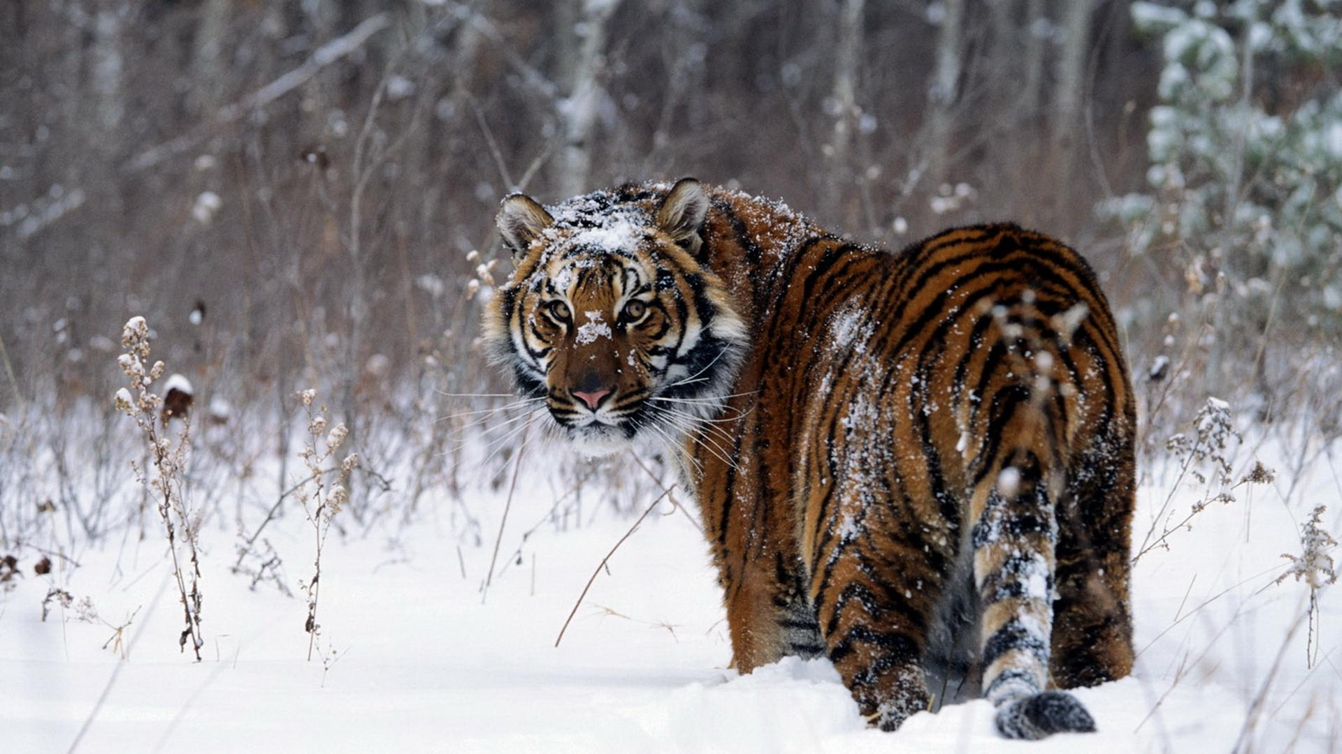 Animals Tiger Snow Wallpapers Hd Desktop And Mobile: Snow Tiger Wallpapers