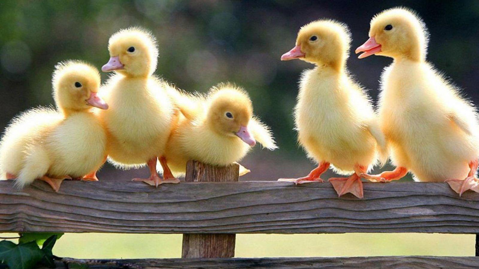 Baby Ducklings Wallpapers - Wallpaper Cave