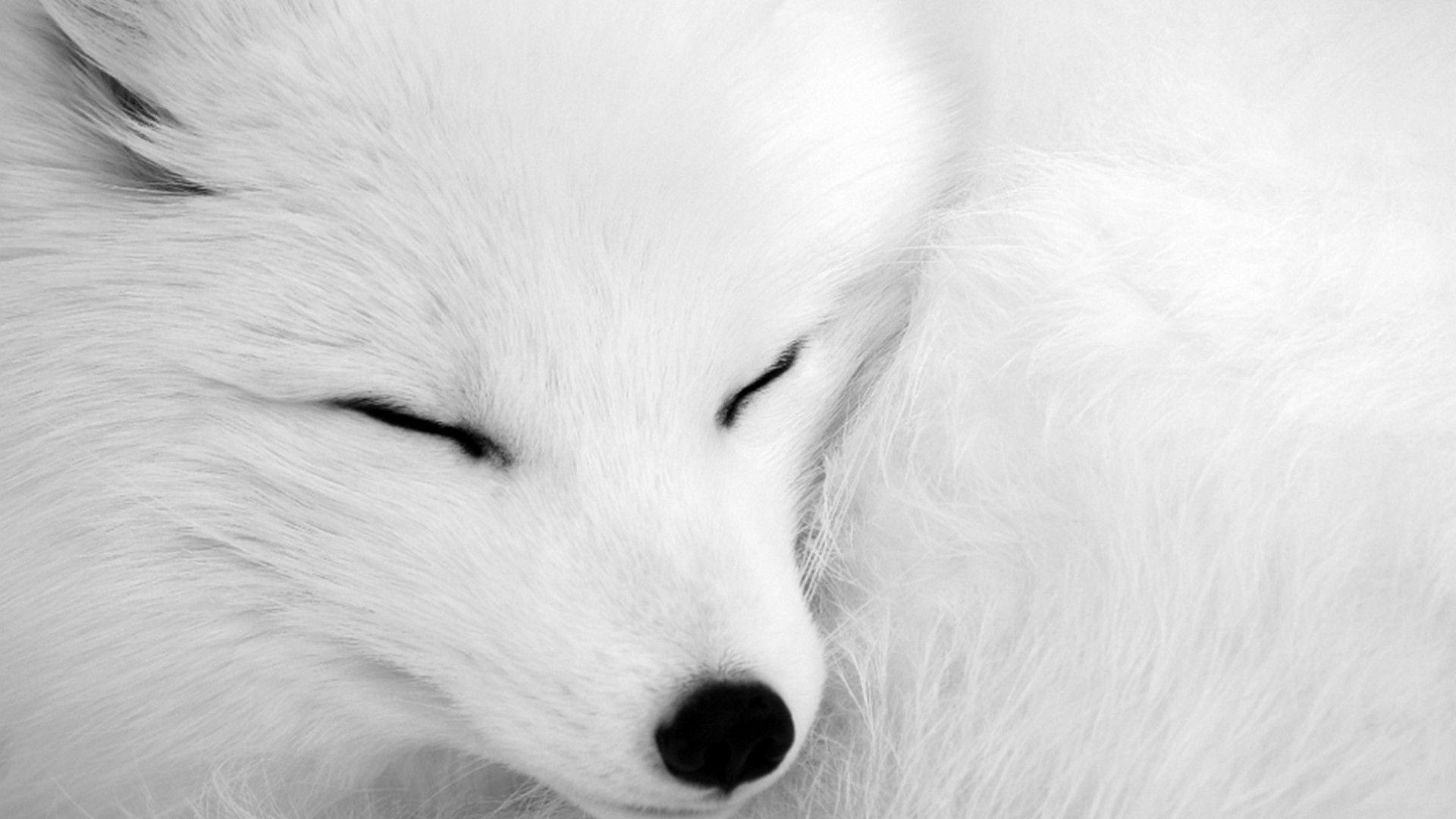 Sleeping Arctic Fox Full HD Wallpaper And Background