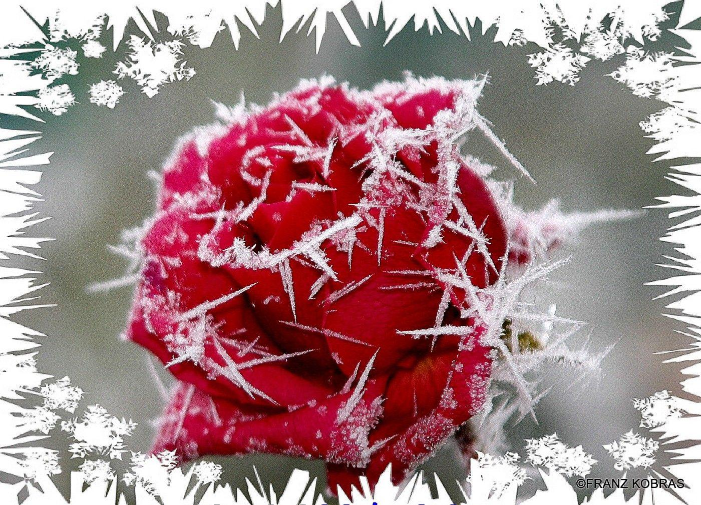 Winter flower wallpapers wallpaper cave - Rose in snow wallpaper ...