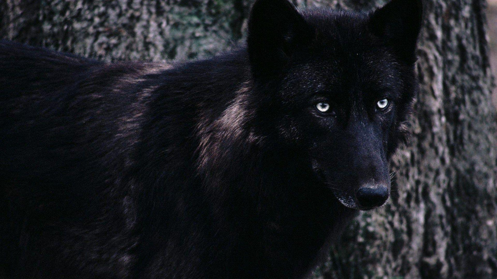 black wolf backgrounds desktop free, 1920x1080