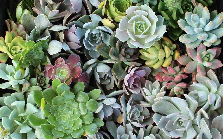 Succulents Wallpapers Wallpaper Cave