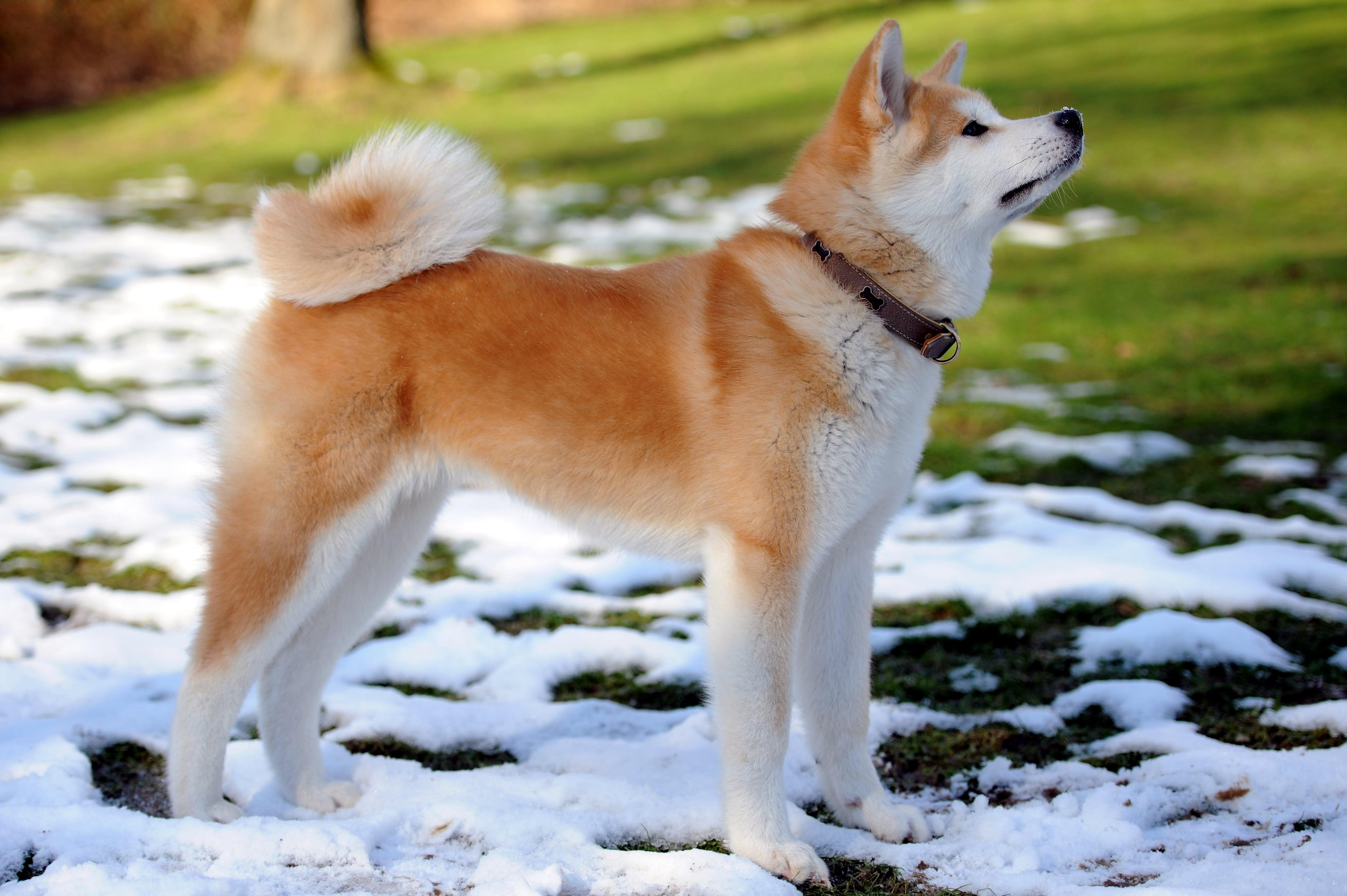 Akita Dog Wallpapers Wallpaper Cave