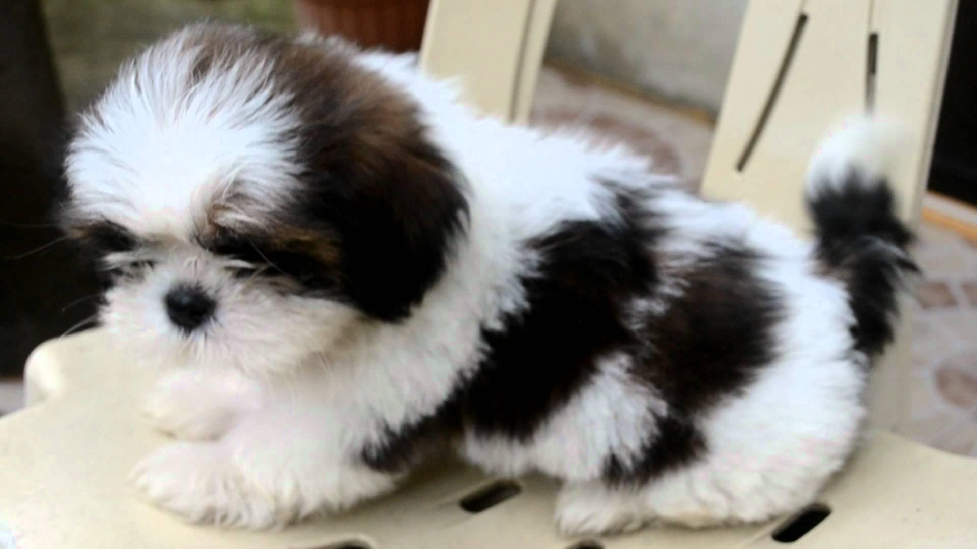 Shih Tzu Puppies Wallpapers Wallpaper Cave