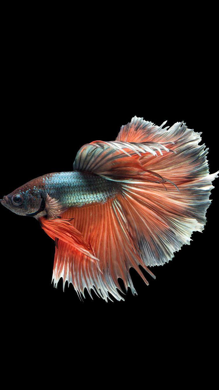 Siamese Fighting Fish Wallpapers - Wallpaper Cave
