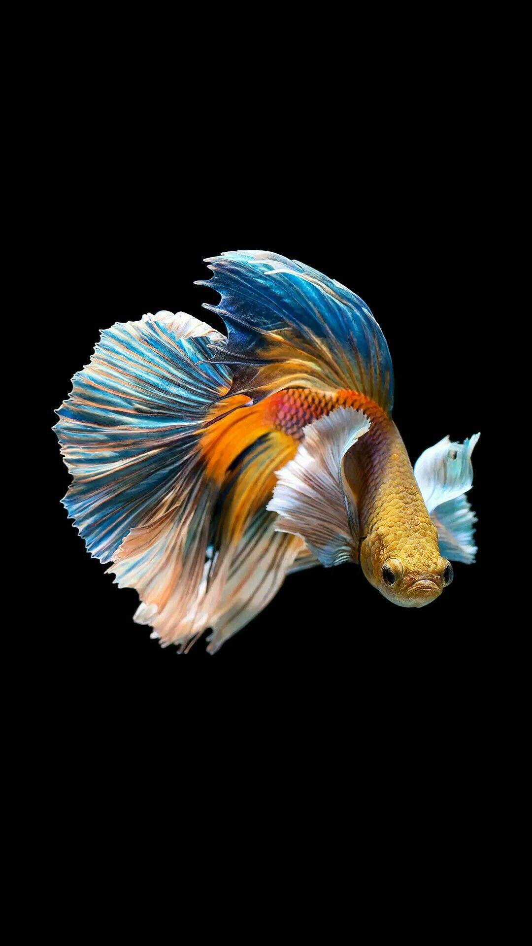 Siamese Fighting Fish Wallpapers Wallpaper Cave