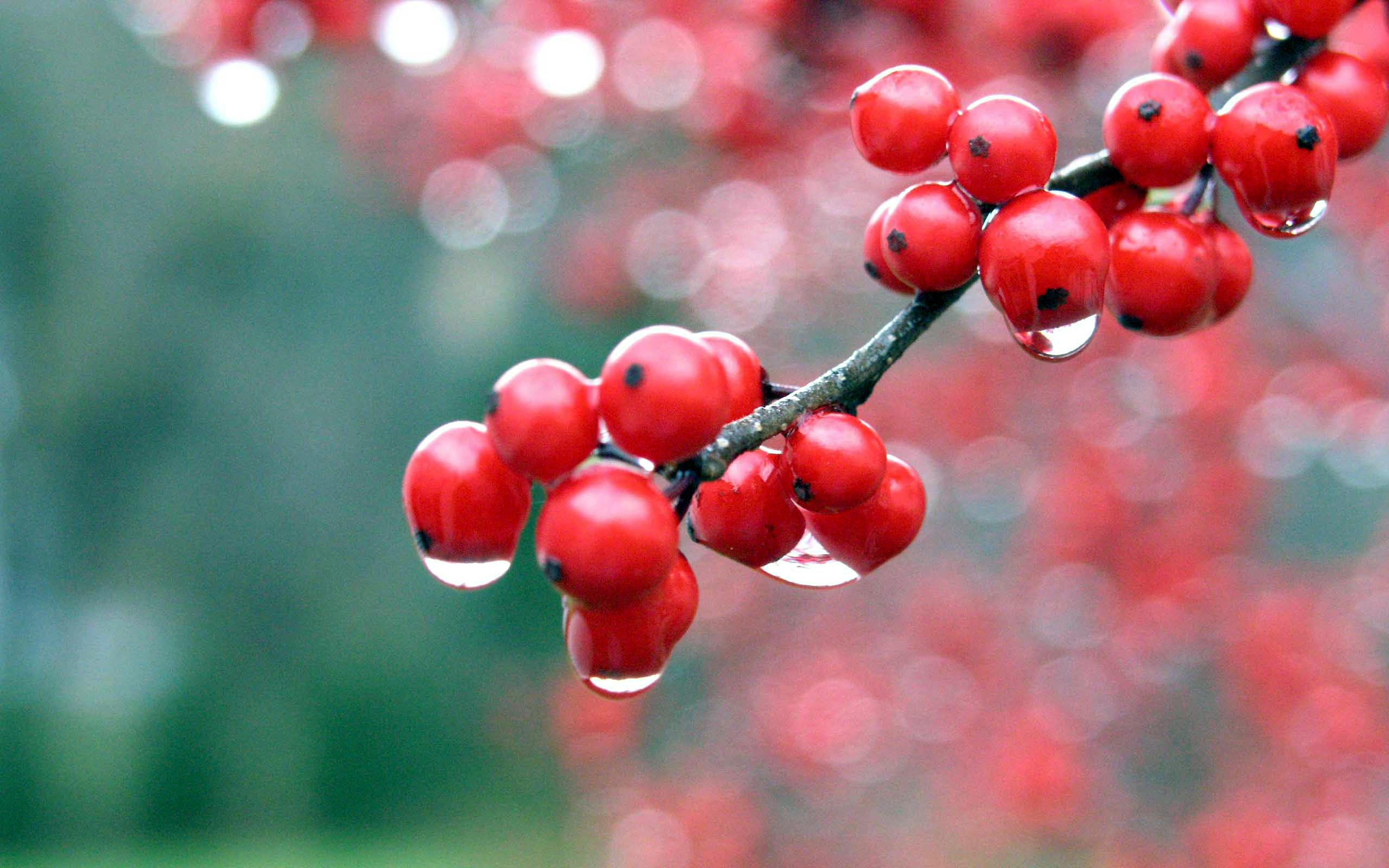 Winter Berries | HD Windows Wallpapers