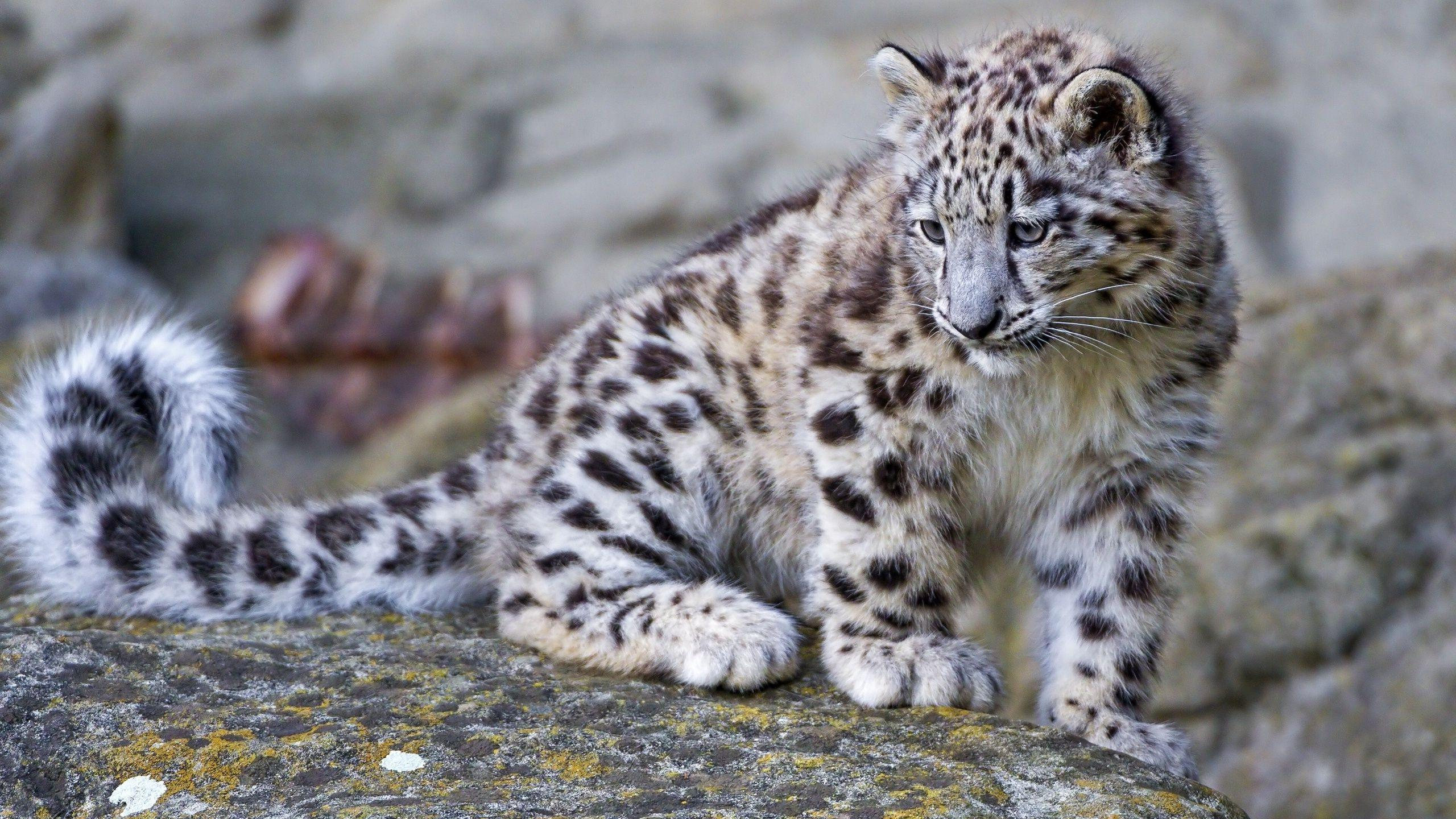 Snow Leopard Cub Wallpaper 19952