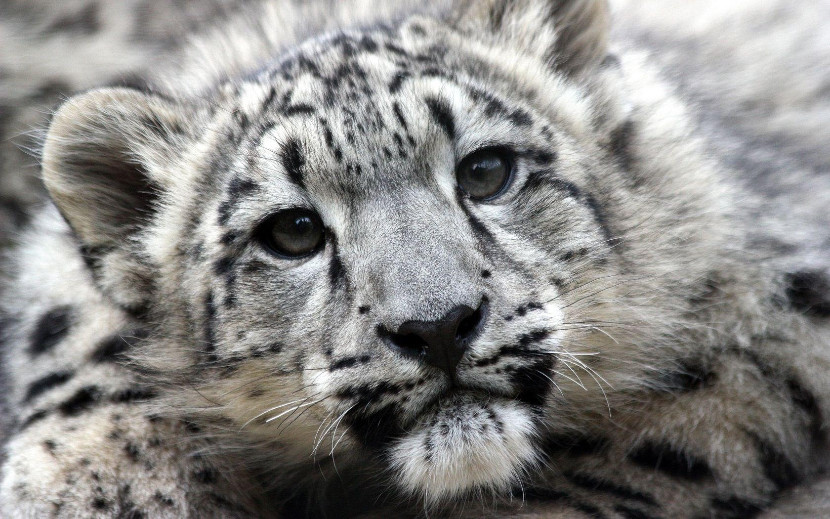 Baby Snow Leopard Wallpapers - Wallpaper Cave