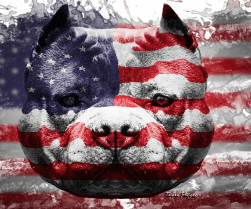 American Bully Wallpapers Wallpaper Cave